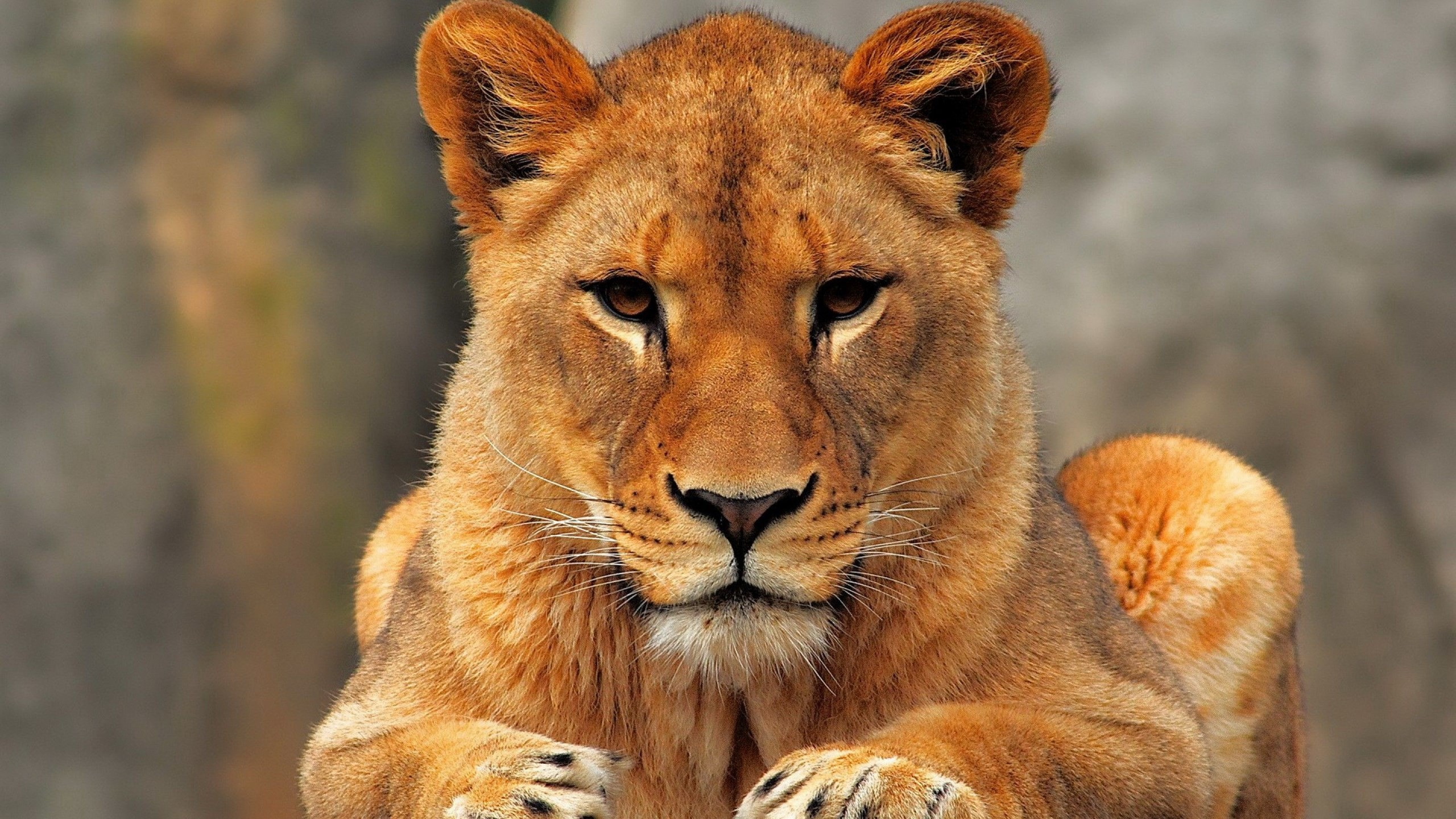 Res: 2560x1440, lioness face wallpaper hd