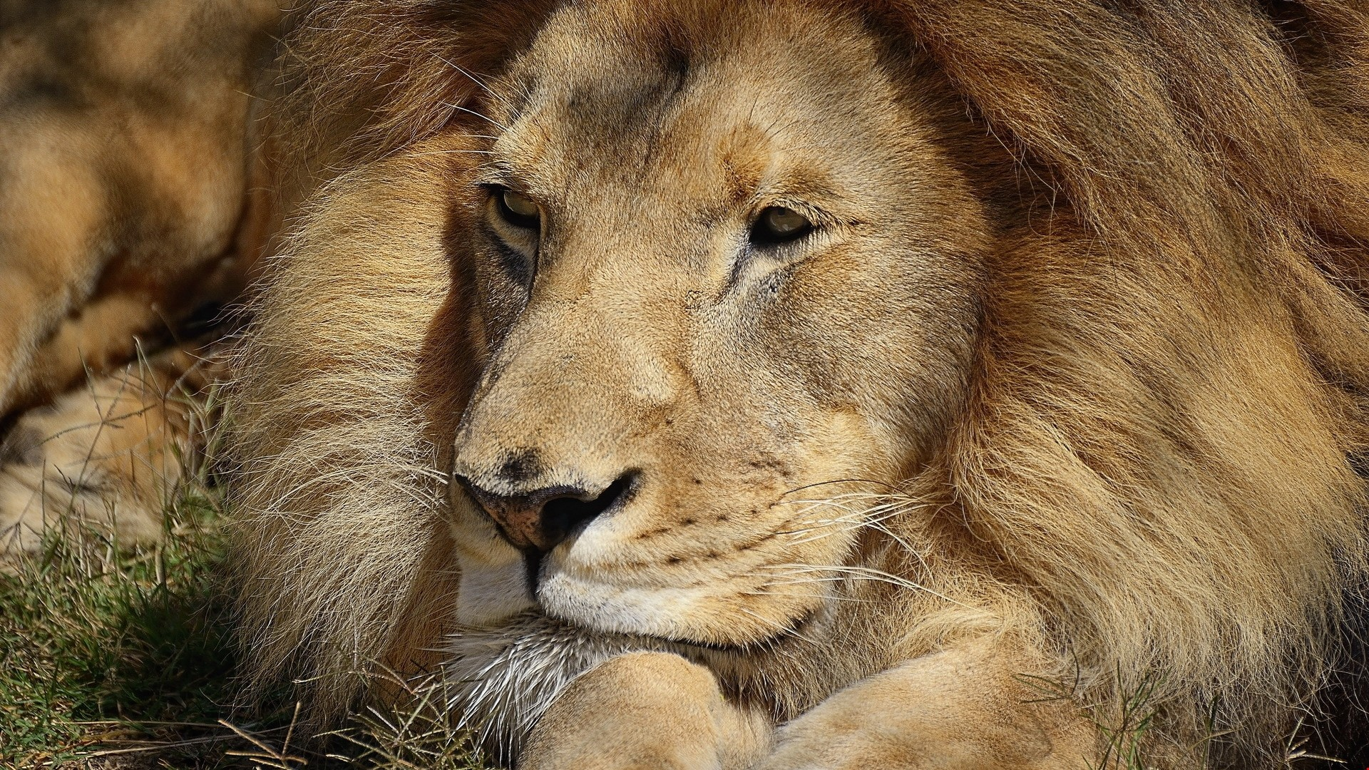 Res: 1920x1080, Download 1k lion, face, big cat - Animals Wallpapers HD