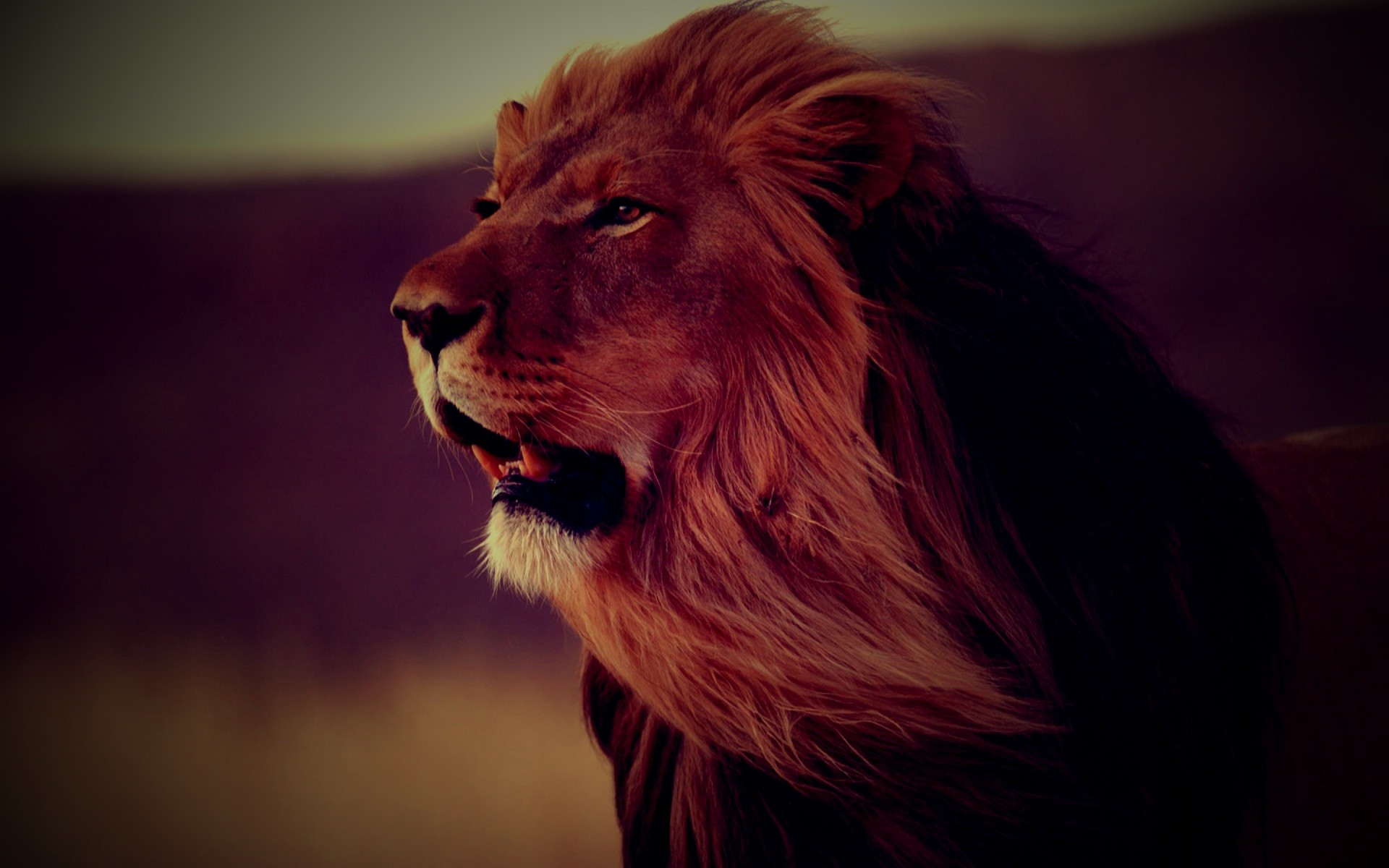 Res: 1920x1200, Lion face evening roaring full HD wide wallpapers