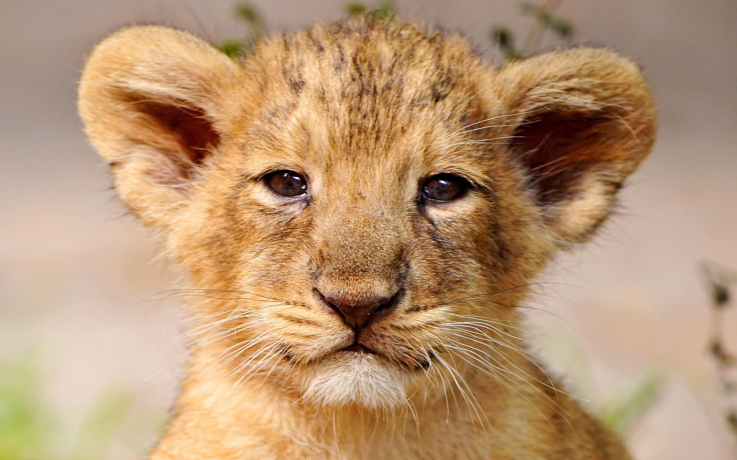 Res: 2560x1600, Baby Face Lion Wallpaper Desktop