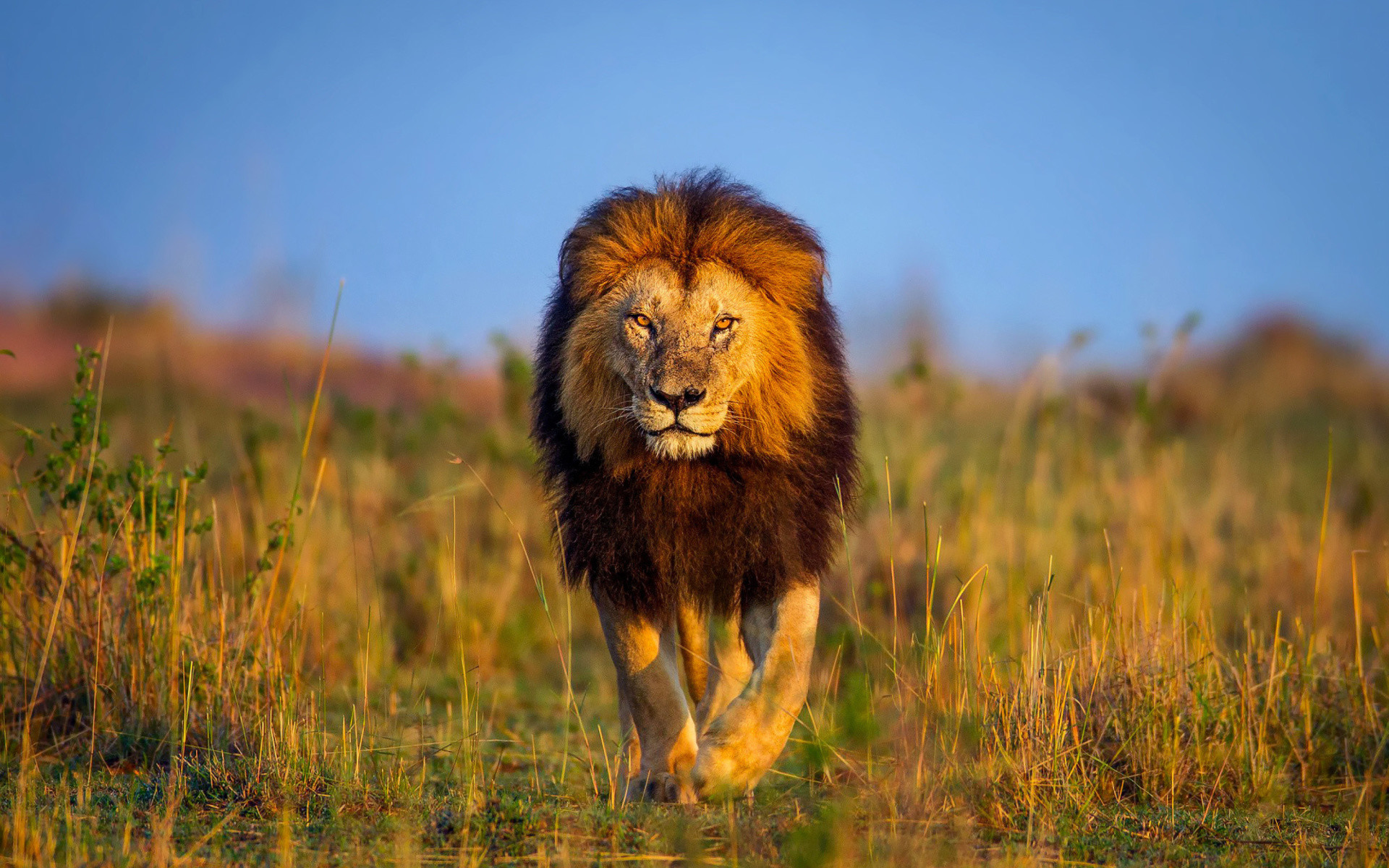 Res: 1920x1200, ... Wallpapers of Lion HD HQ Definition ...