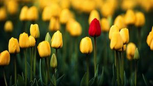 Tulips Background wallpapers