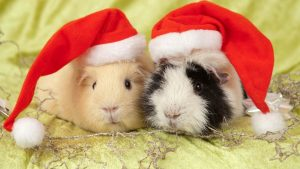 Christmas Pig wallpapers