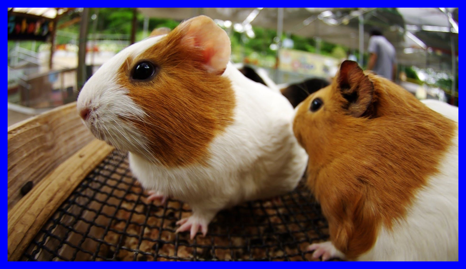 Res: 1984x1144, Funny Pig Funny Guinea Pig Names For Females Amazing Christmas Guinea Pig  Wallpaper For Funny Names Females Styles And Inspiration