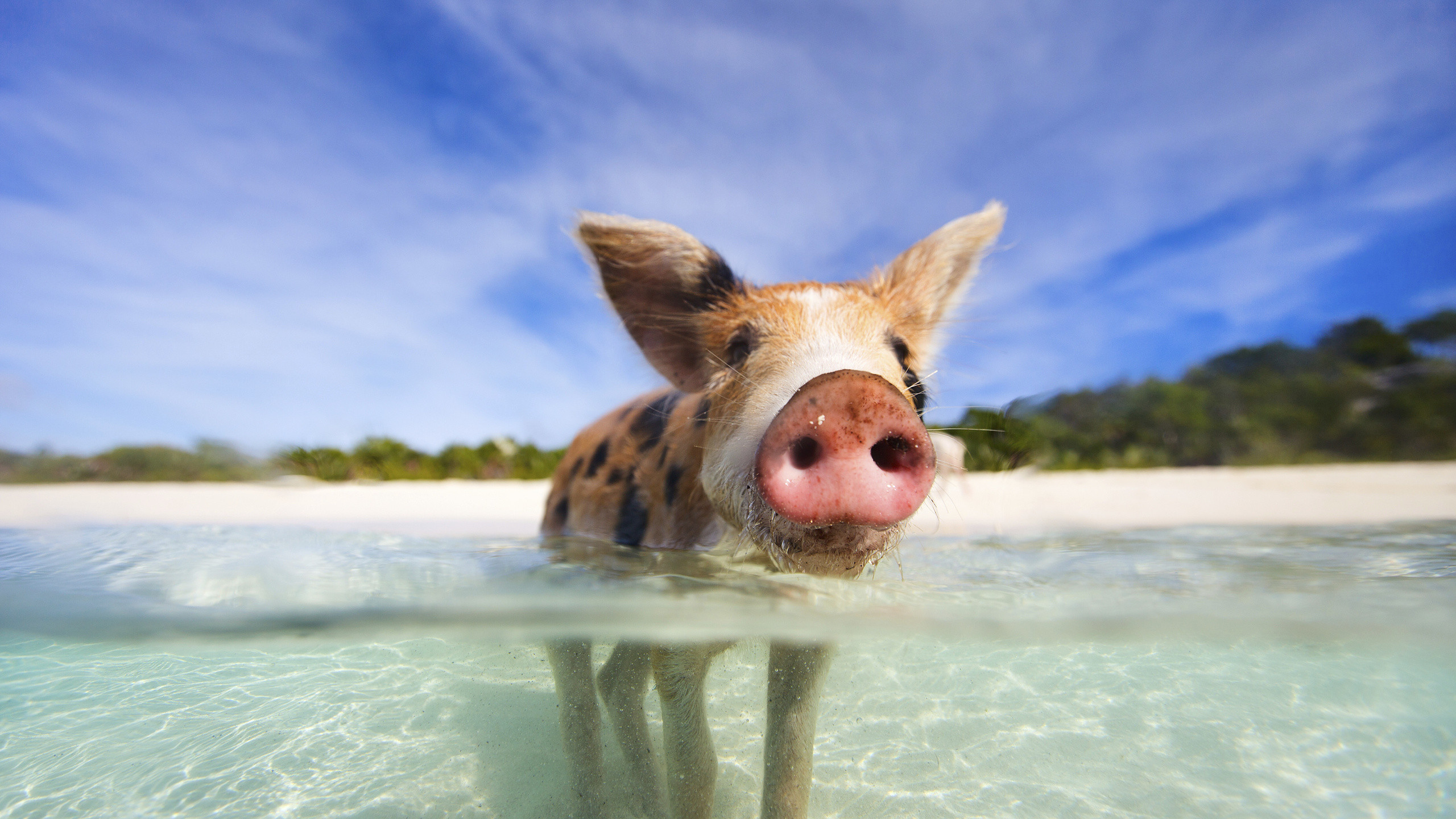 Res: 2560x1440, Travel To Bahamas, Pictures Of Bahamas, Pigs, Bahamas Country, Funny,  Bahamas