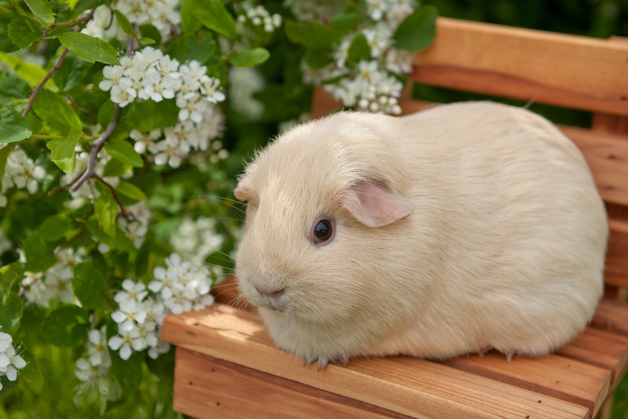 Res: 2048x1367, HD Wallpaper | Background Image ID:385055.  Animal Guinea Pig