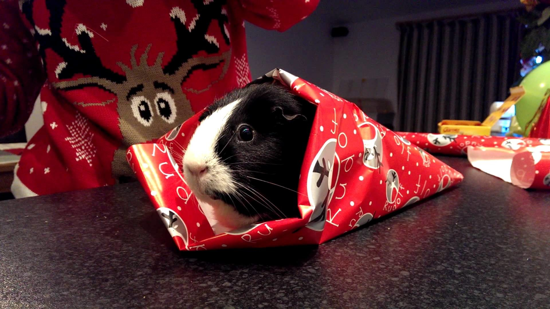Res: 1920x1080, How to Giftwrap a Guinea Pig for Christmas