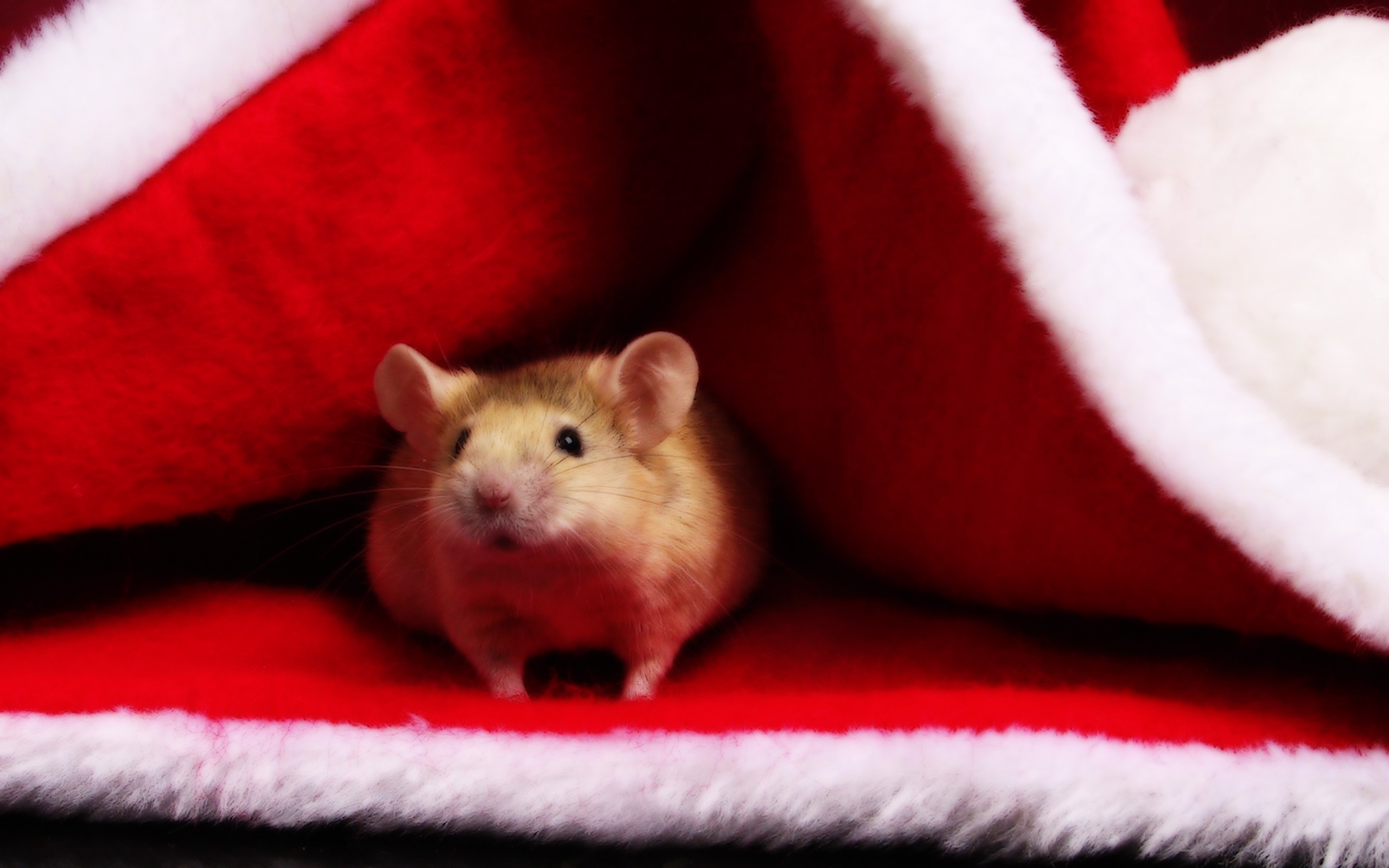Res: 2560x1600, Mouse on The Santa Hat Merry Christmas Wallpaper Laptop Wallpaper