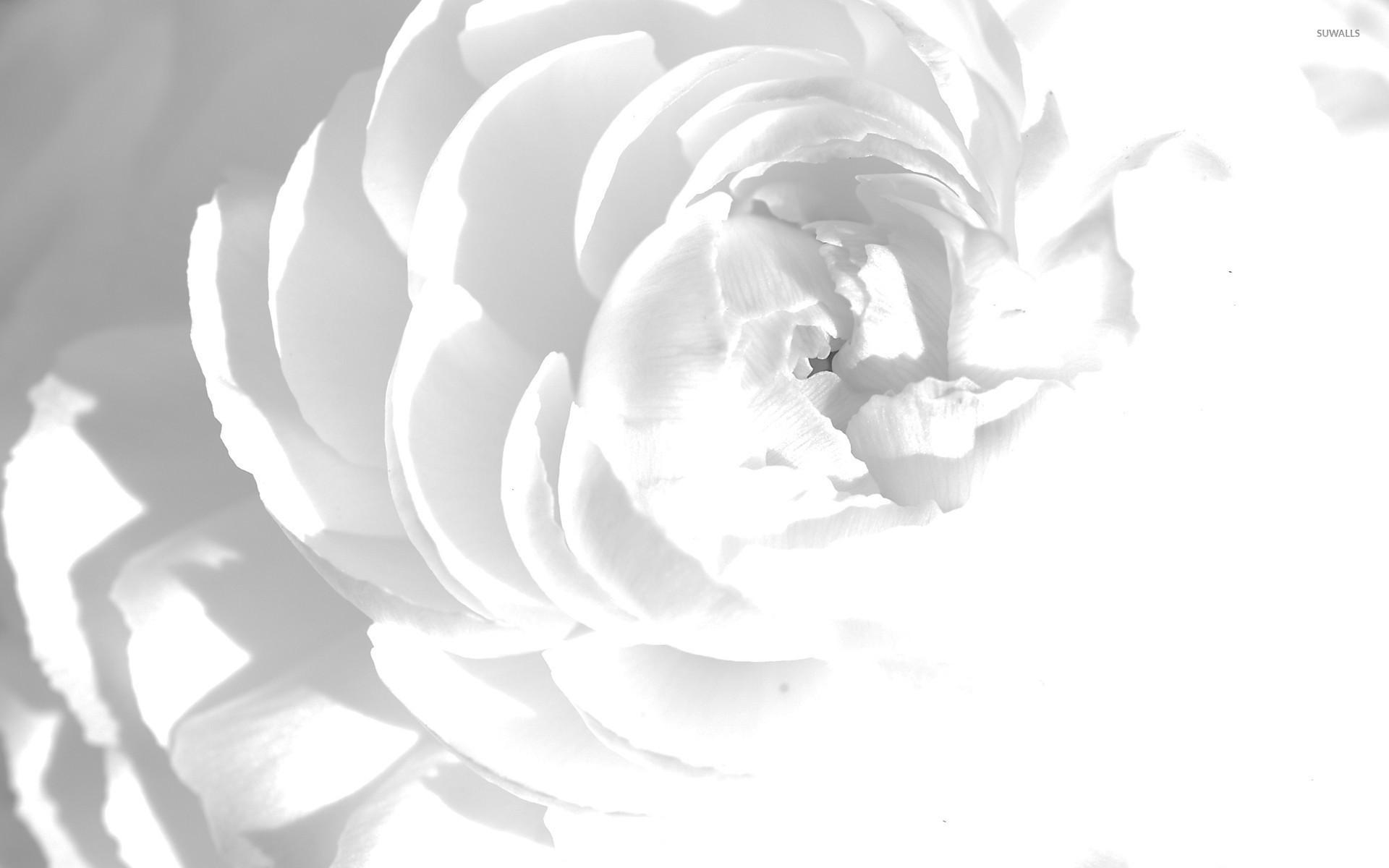 Res: 1920x1200, White peony wallpaper