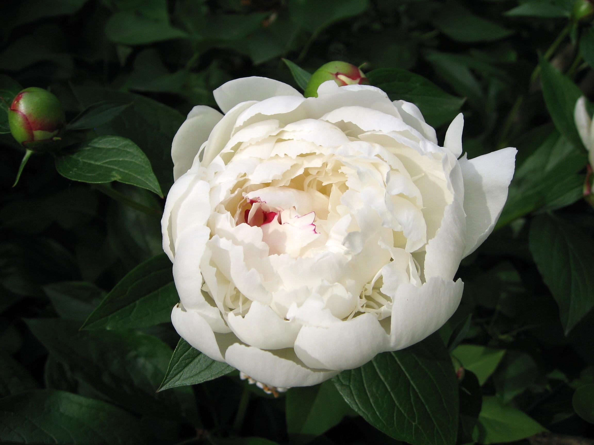 Res: 2304x1728, Beautiful white peony