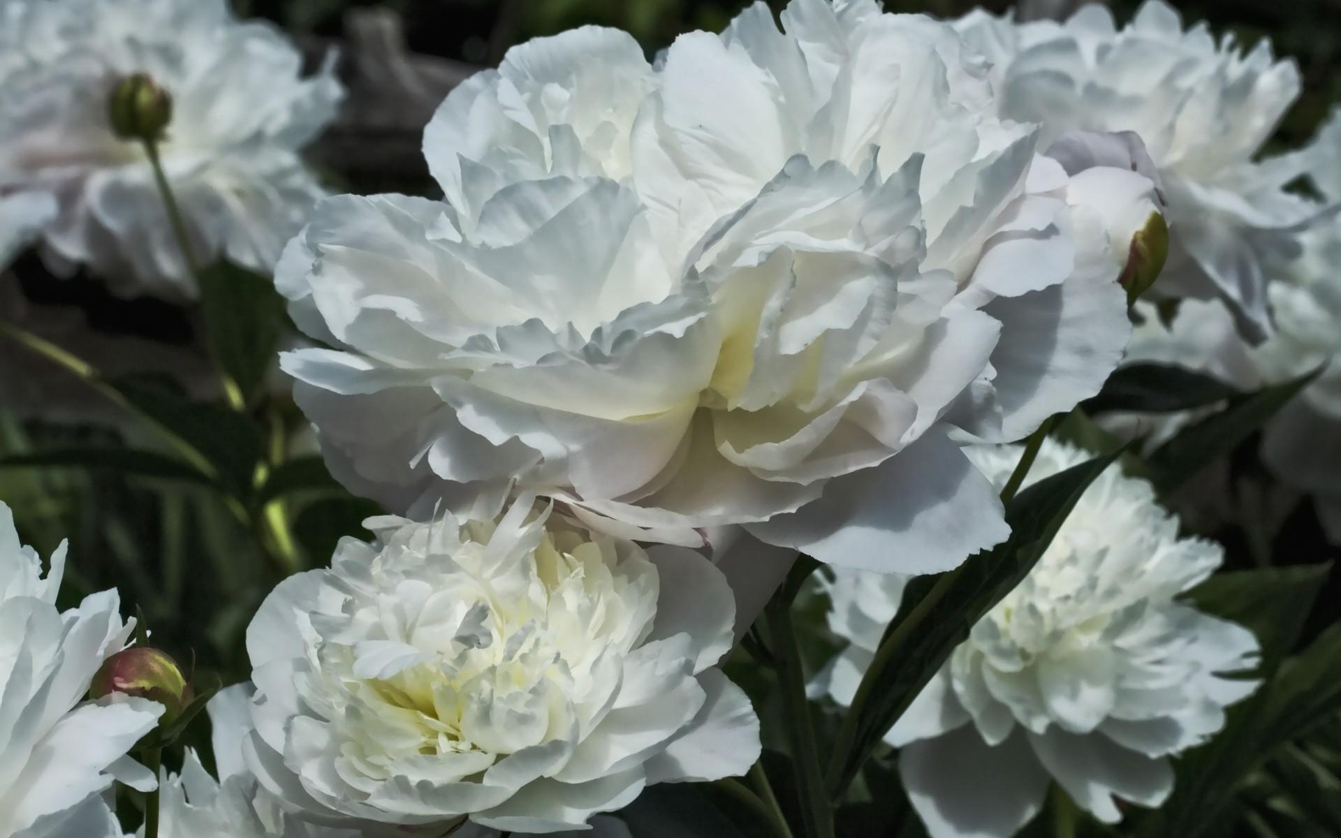 Res: 1920x1200, white peonies