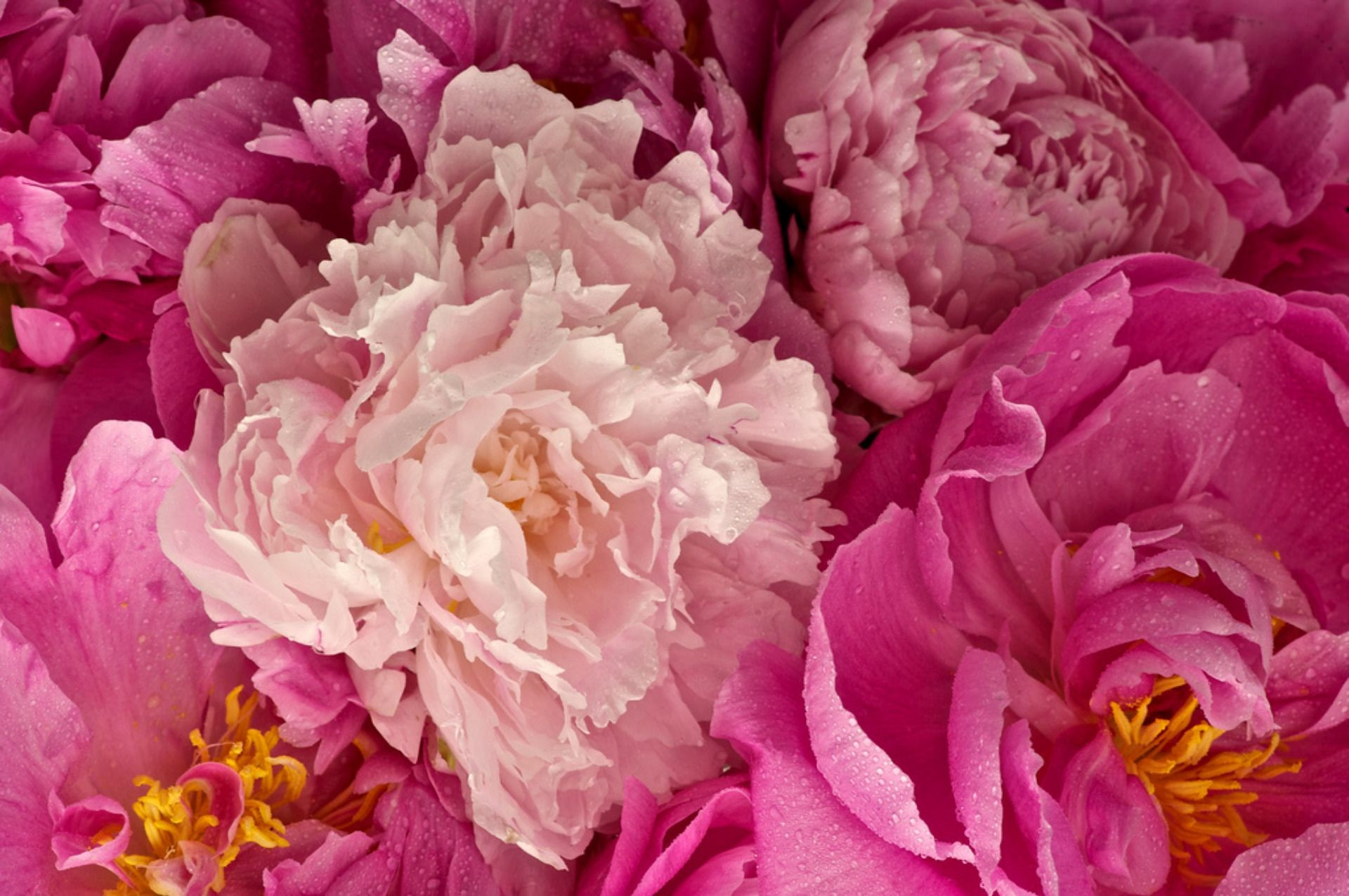 Res: 1920x1276, Flowers For > White Peony Wallpaper