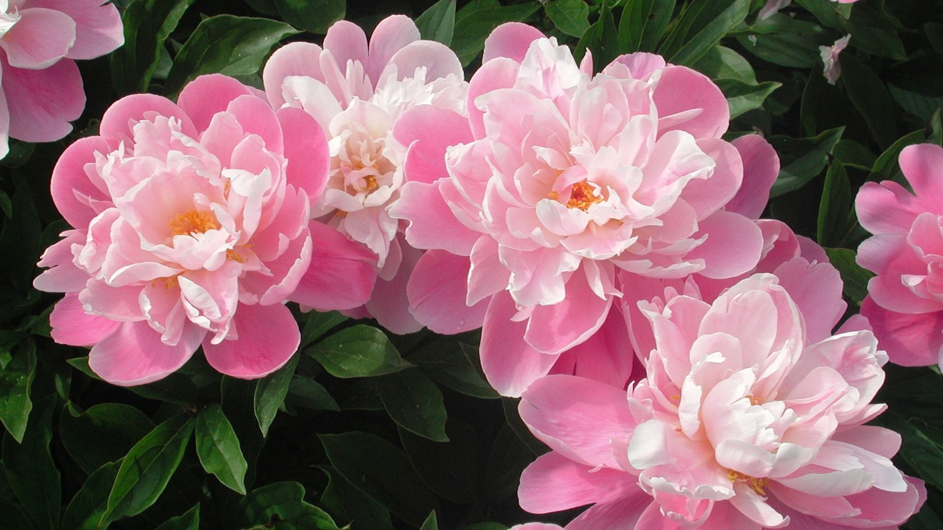 Res: 1920x1080, Download Peony Image Free.