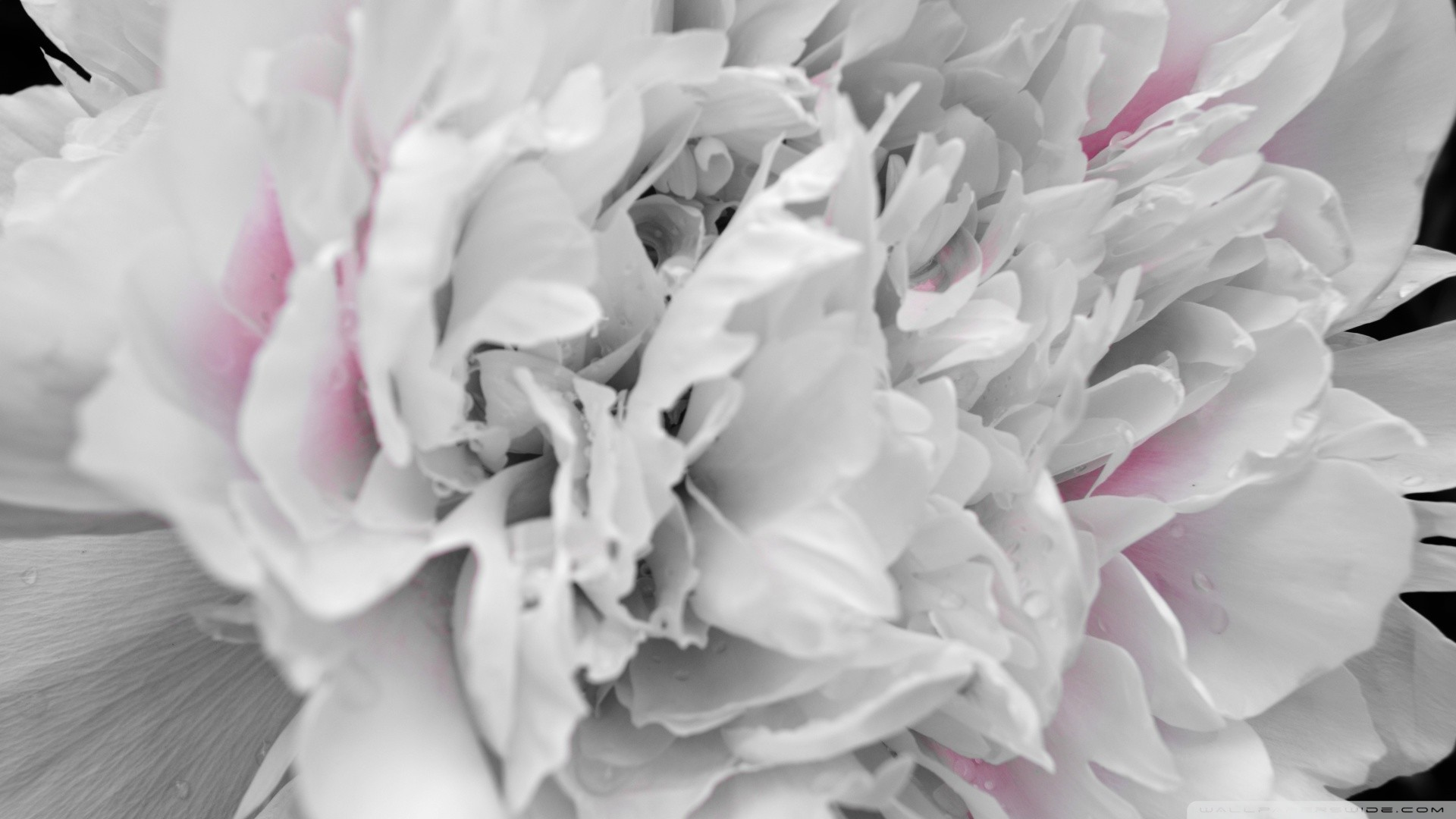Res: 1920x1080, Peony Image Download Free.
