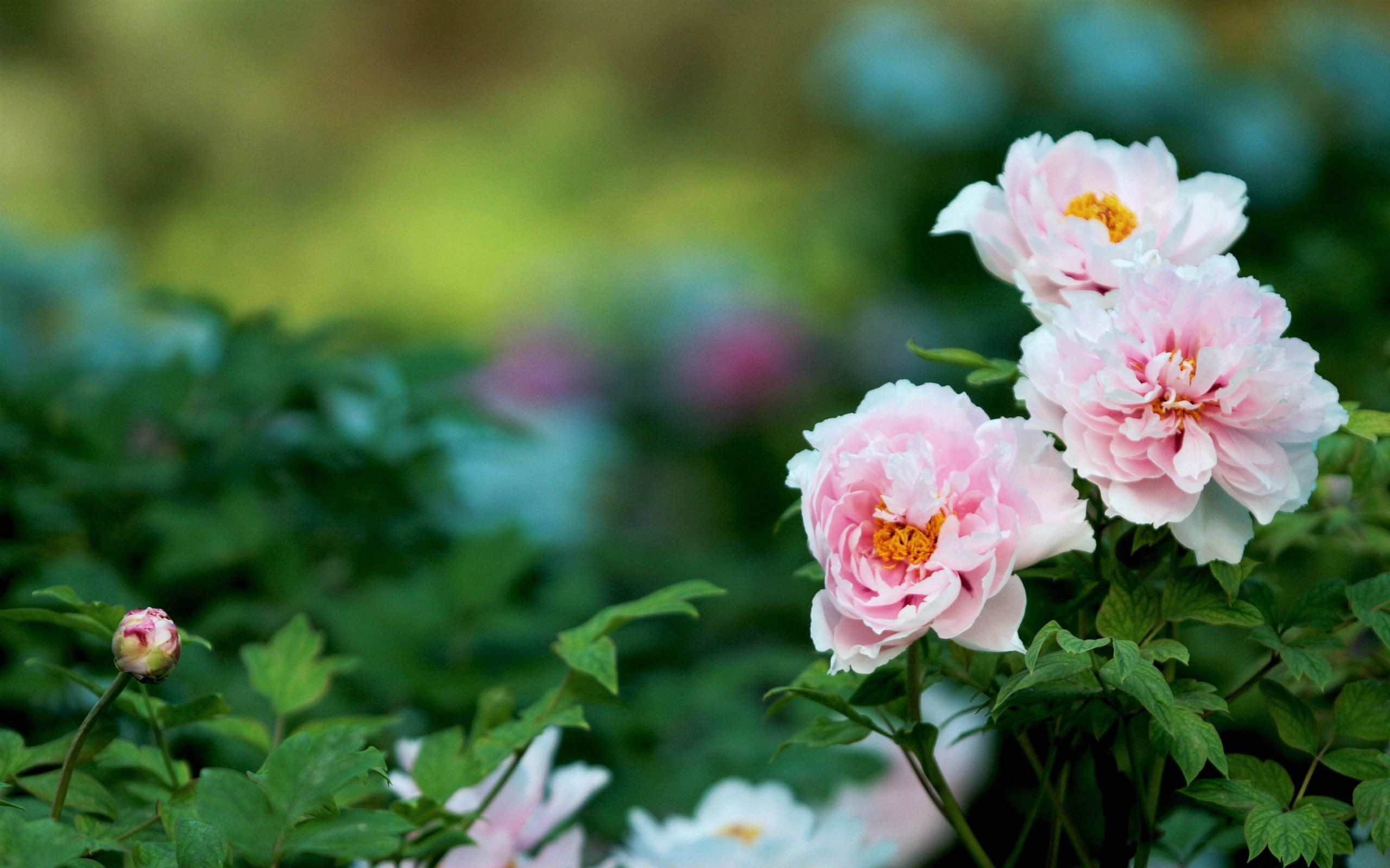 Res: 2560x1600, White Peonies Flowers