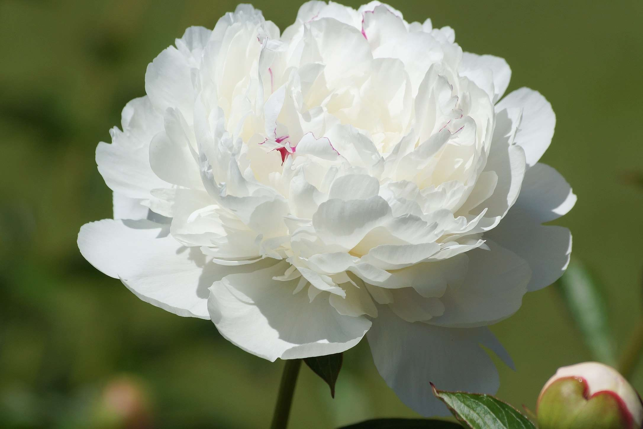 Res: 2173x1451, #flowers #garden #nature #peony #plant #plants #spring #white