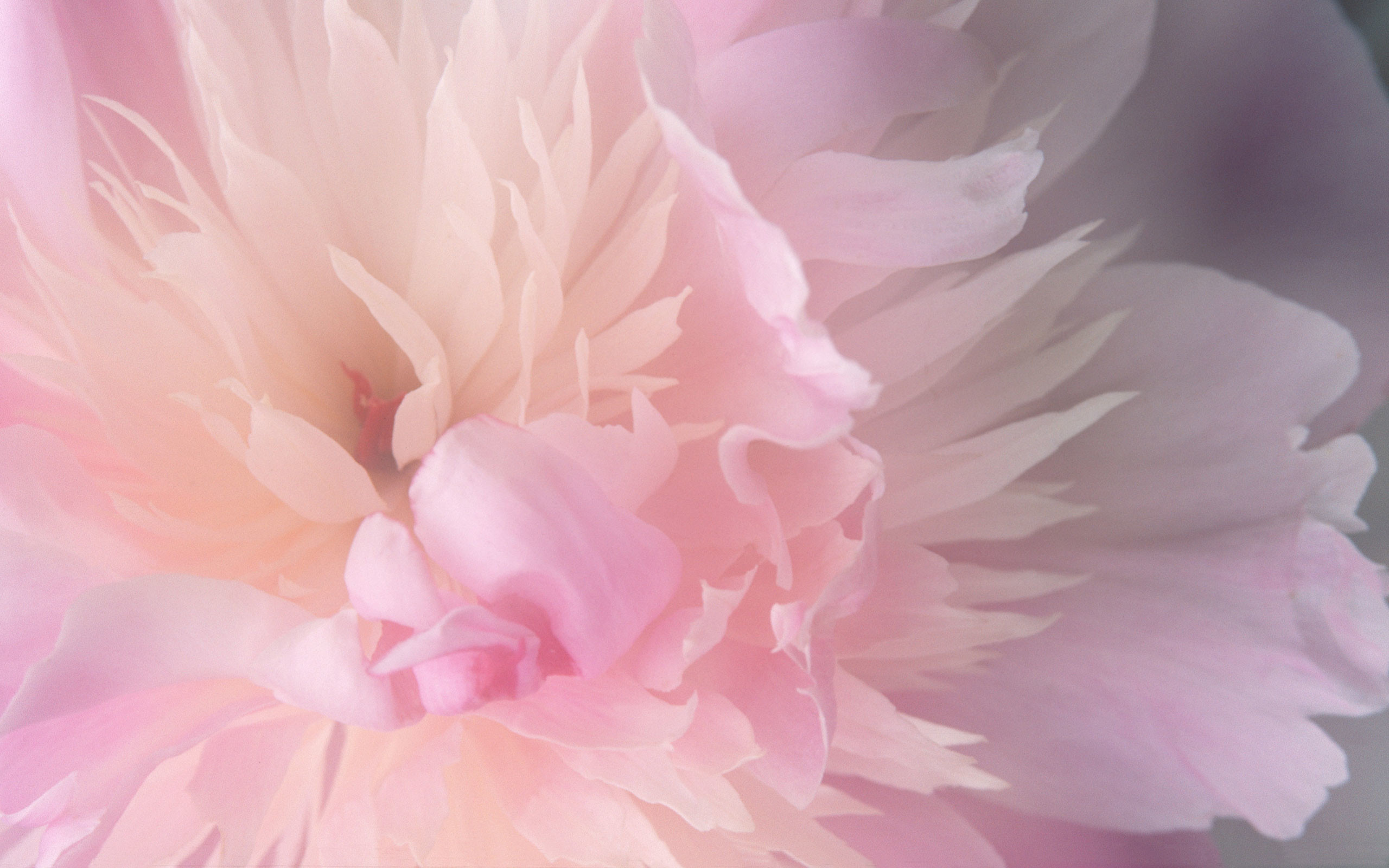 Res: 2560x1600, Peony Wallpapers Peony Backgrounds Peony HD Wallpapers