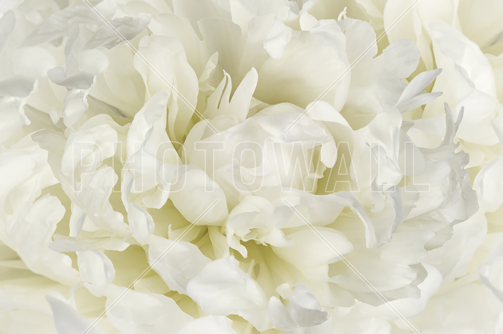 Res: 2000x1328, Ivory White Peony | Wall Mural amp Photo Wallpaper | Photowa