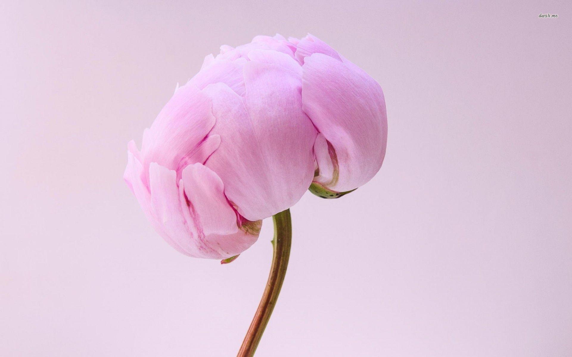 Res: 1920x1200, ... Pink peony wallpaper  ...