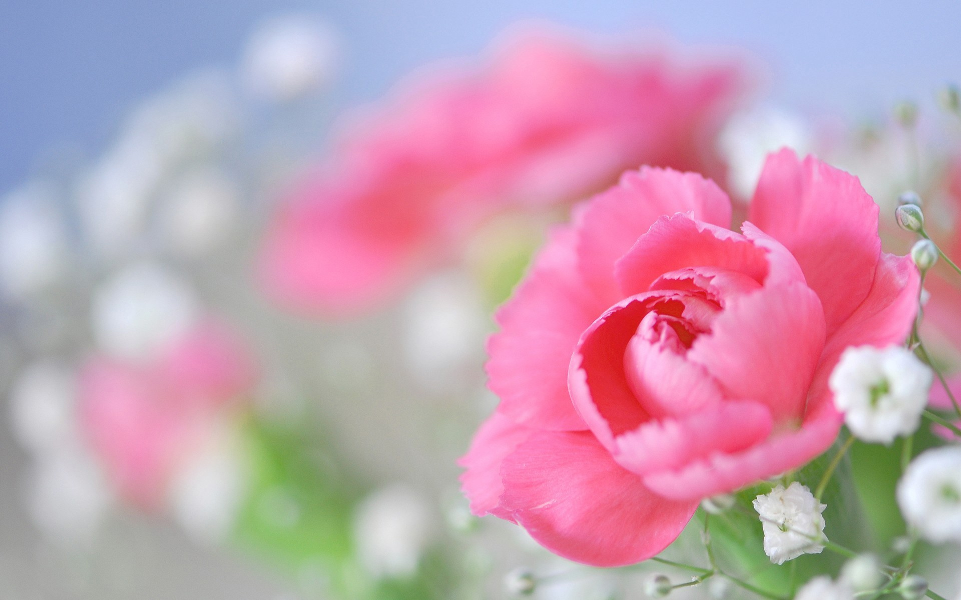 Res: 1920x1200, Garage Pink Peony Flower Wallpaper Also Pink Peony Flower Wallpaper X in  Peony Flower