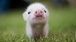 Baby Pig wallpapers