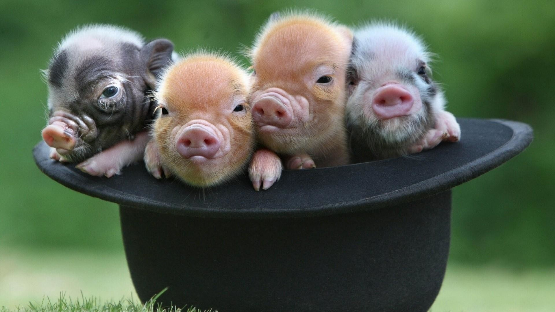 Res: 1920x1080, Baby Pigs In The Hat Wallpaper | Wallpaper Studio 10 | Tens of thousands HD  and UltraHD wallpapers for Android, Windows and Xbox