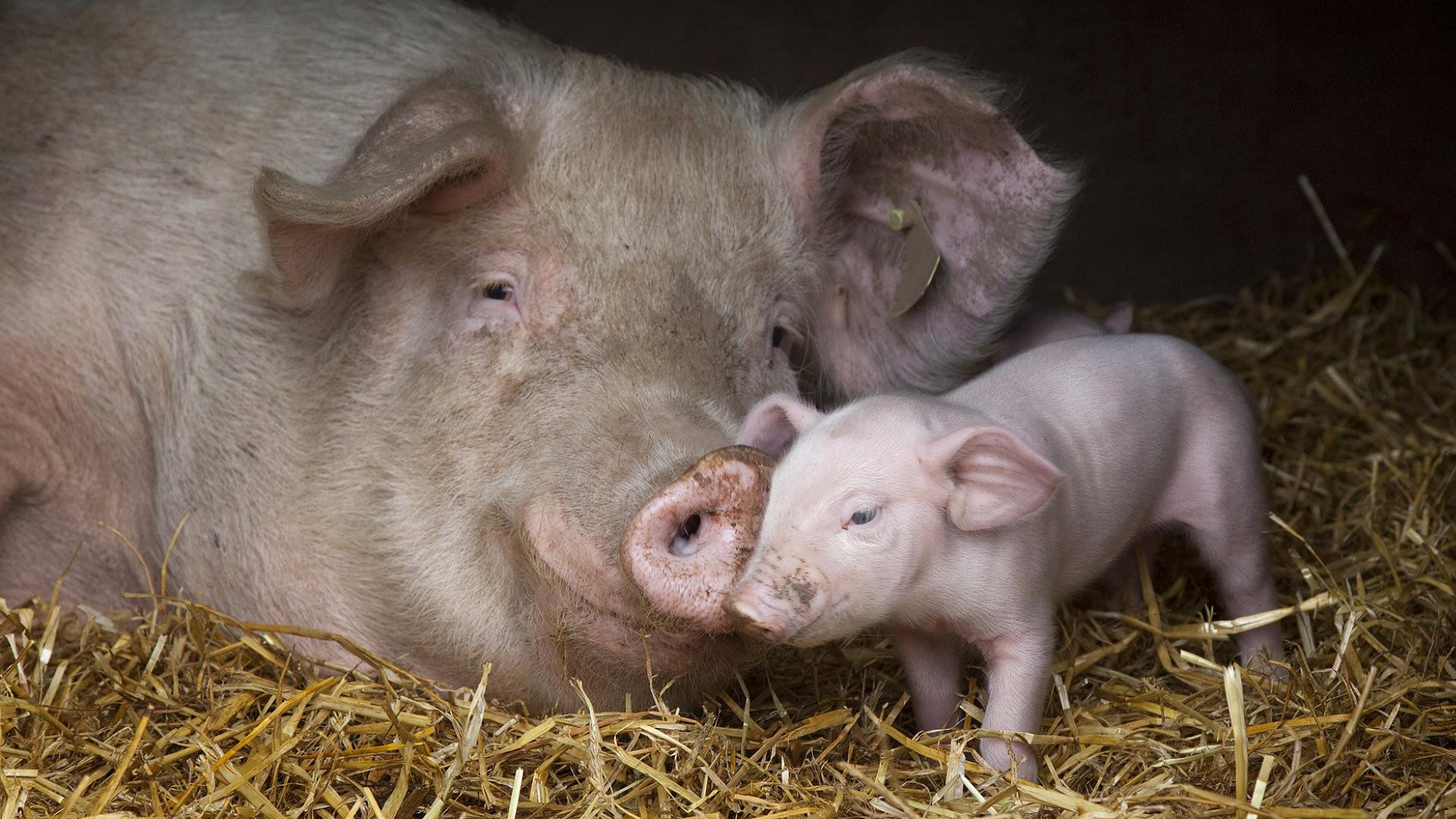 Res: 1920x1080, Animal - Pig Wallpaper