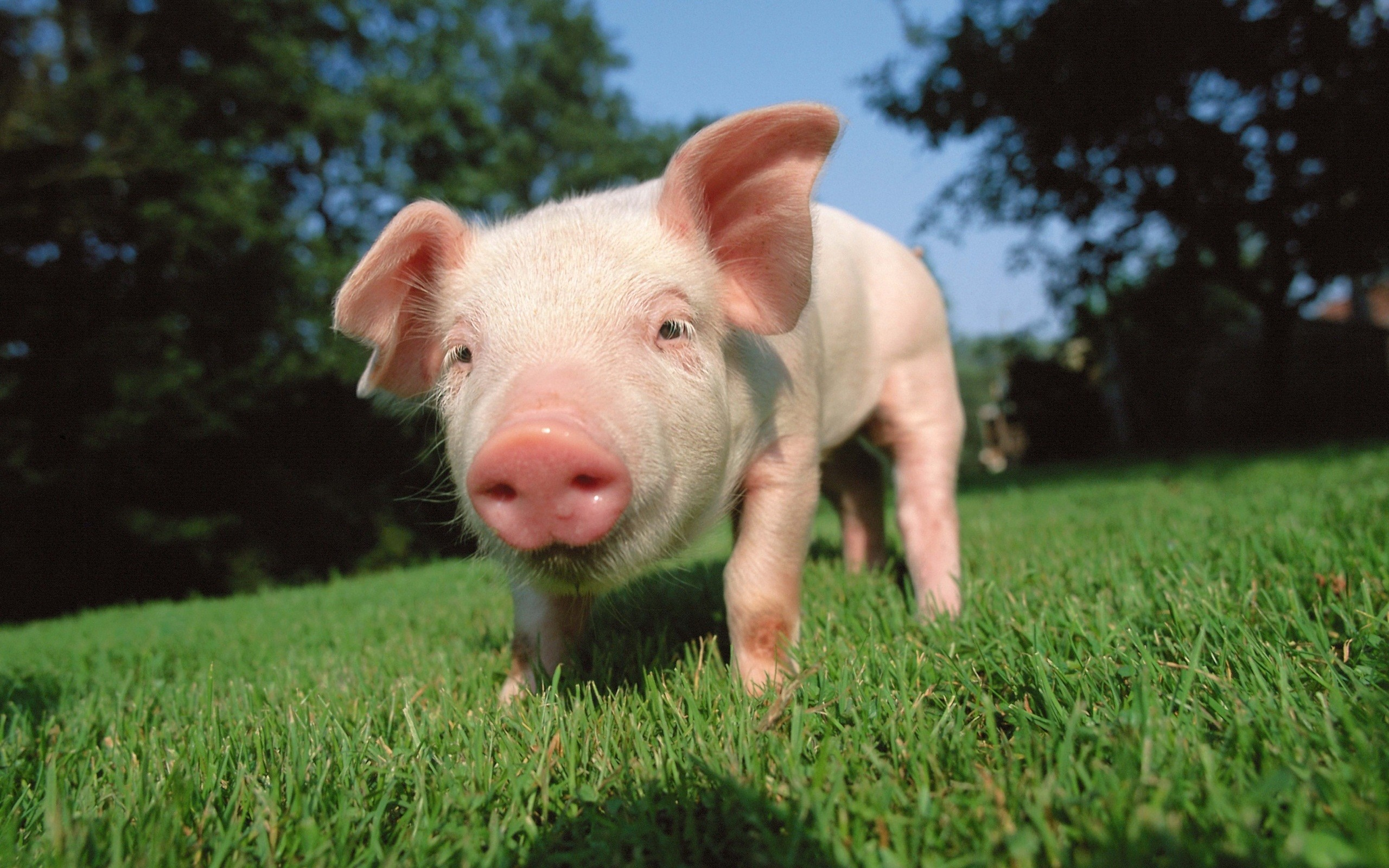 Res: 2560x1600, Pig Wallpapers