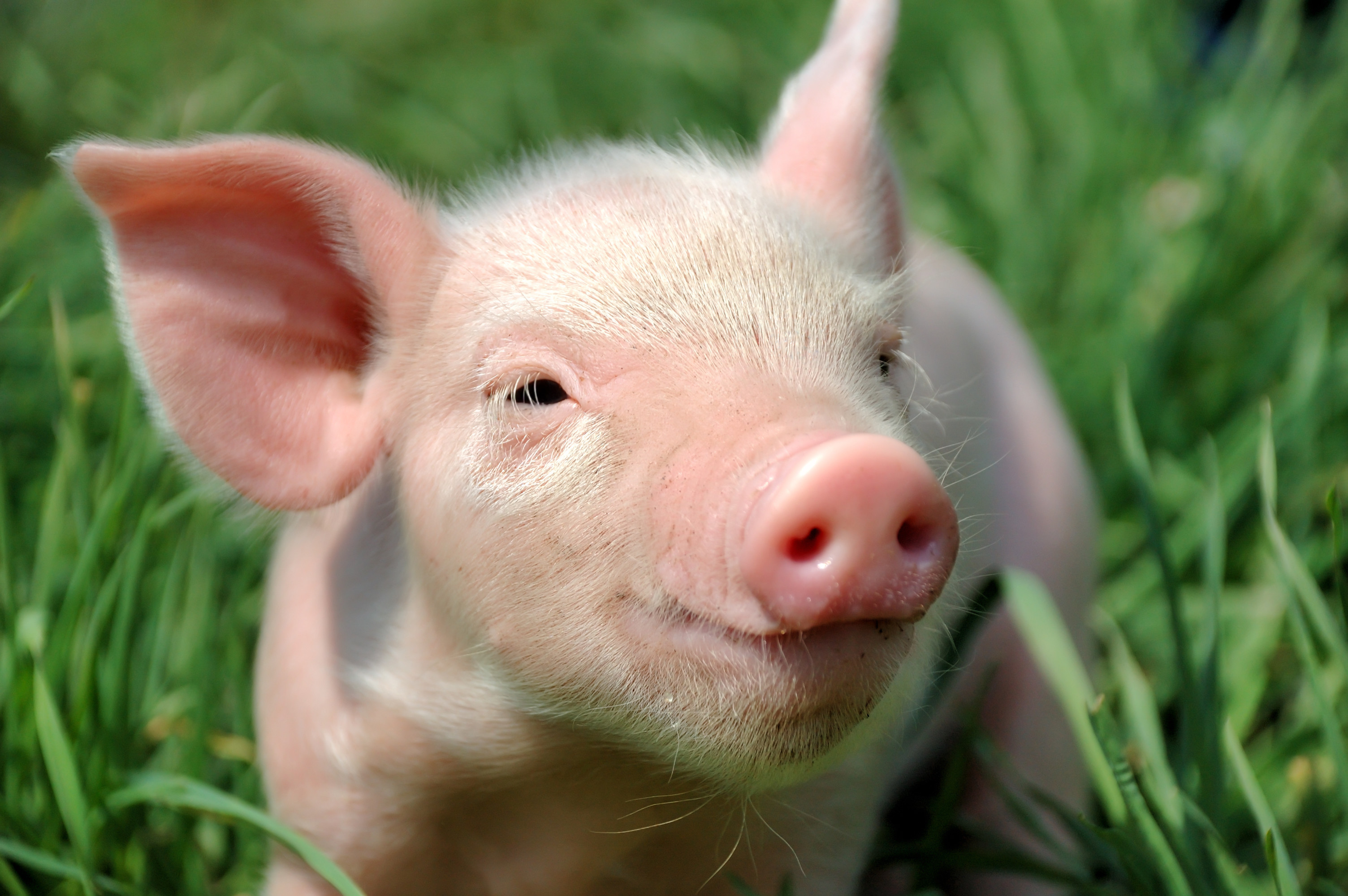 Res: 3008x2000, Pigs images HD wallpaper and background photos