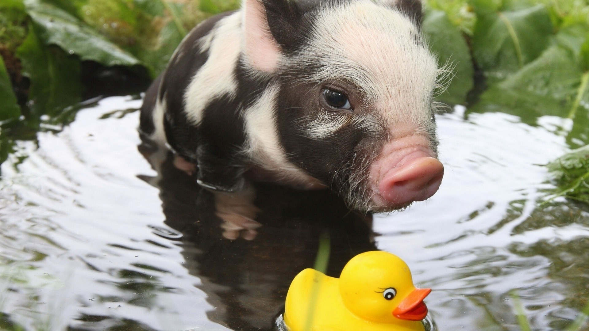 Res: 1920x1080, rubber Ducks, Pigs, Baby Animals, Animals, Water Wallpapers HD / Desktop  and Mobile Backgrounds