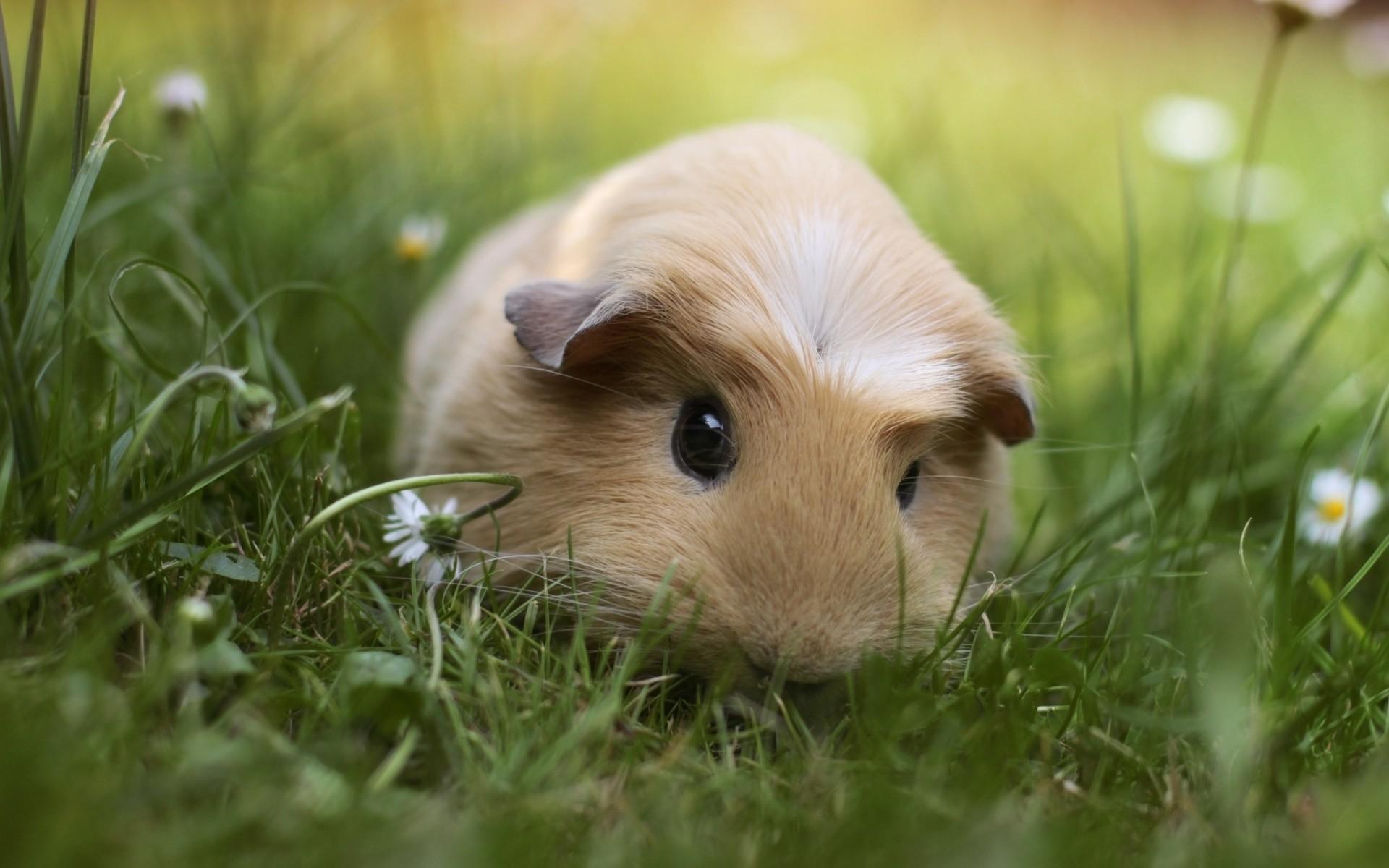 Res: 1920x1200, Cute Guinea Pigs
