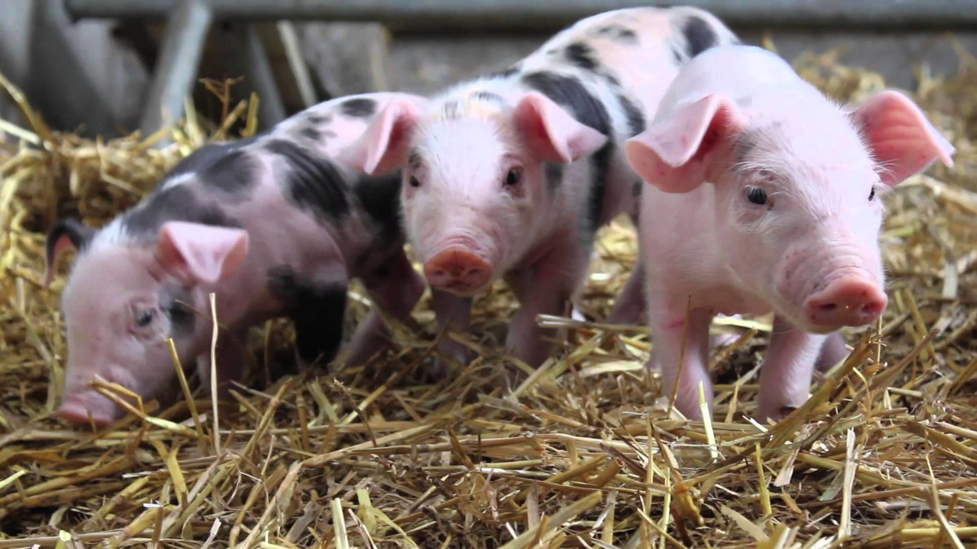 Res: 1920x1080, Cute Baby Pigs