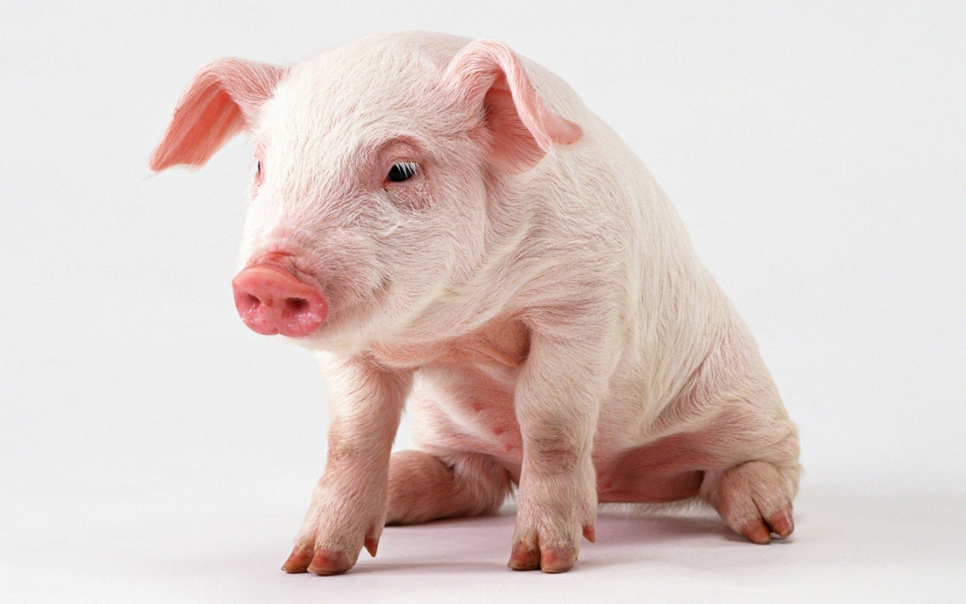 Res: 1920x1200, Baby Pig wallpaper ideas about Pig Wallpaper on Pinterest Pig illustration