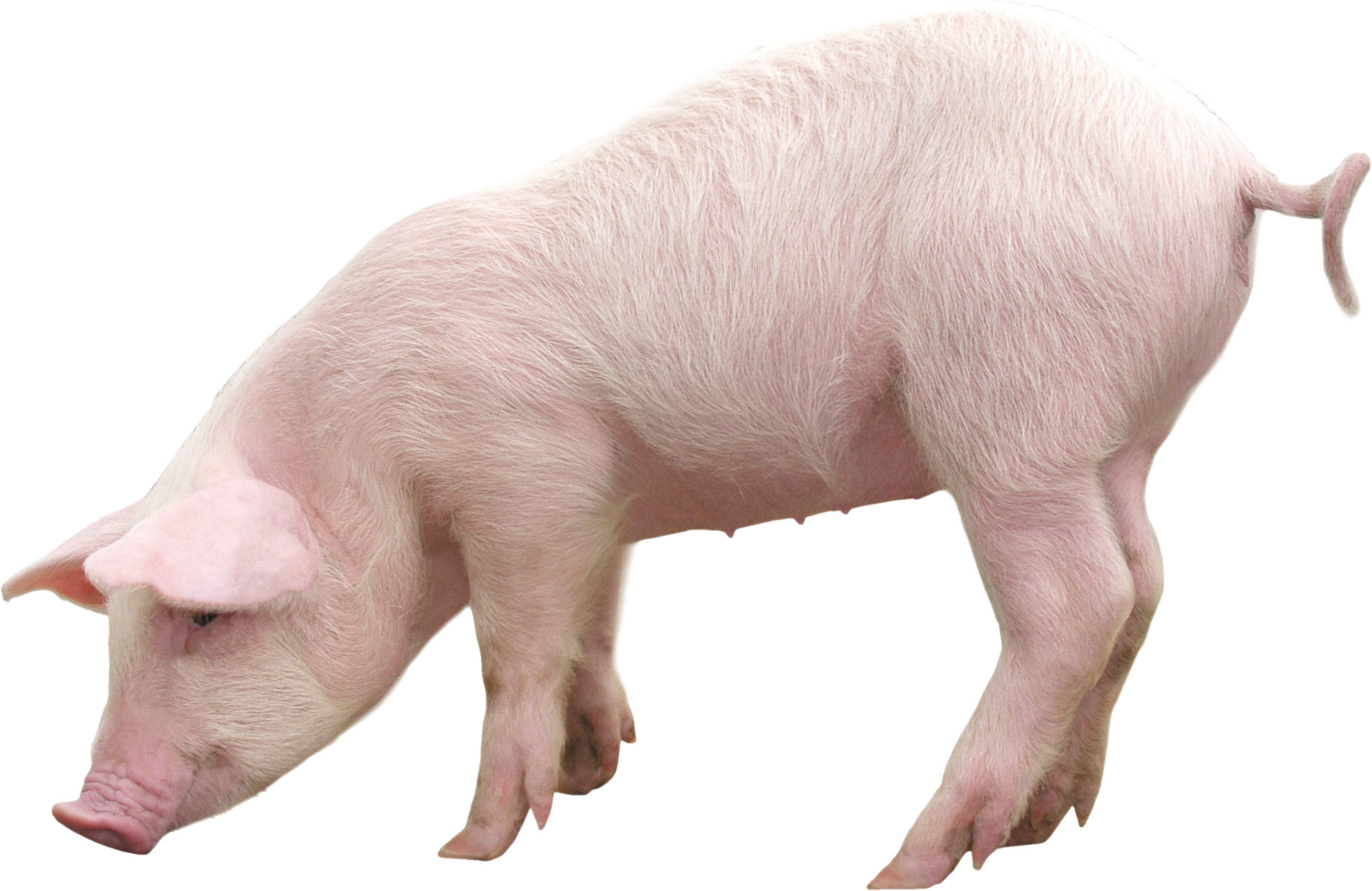 Res: 2830x1838, pig PNG image - Pig PNG - Baby Pig PNG HD