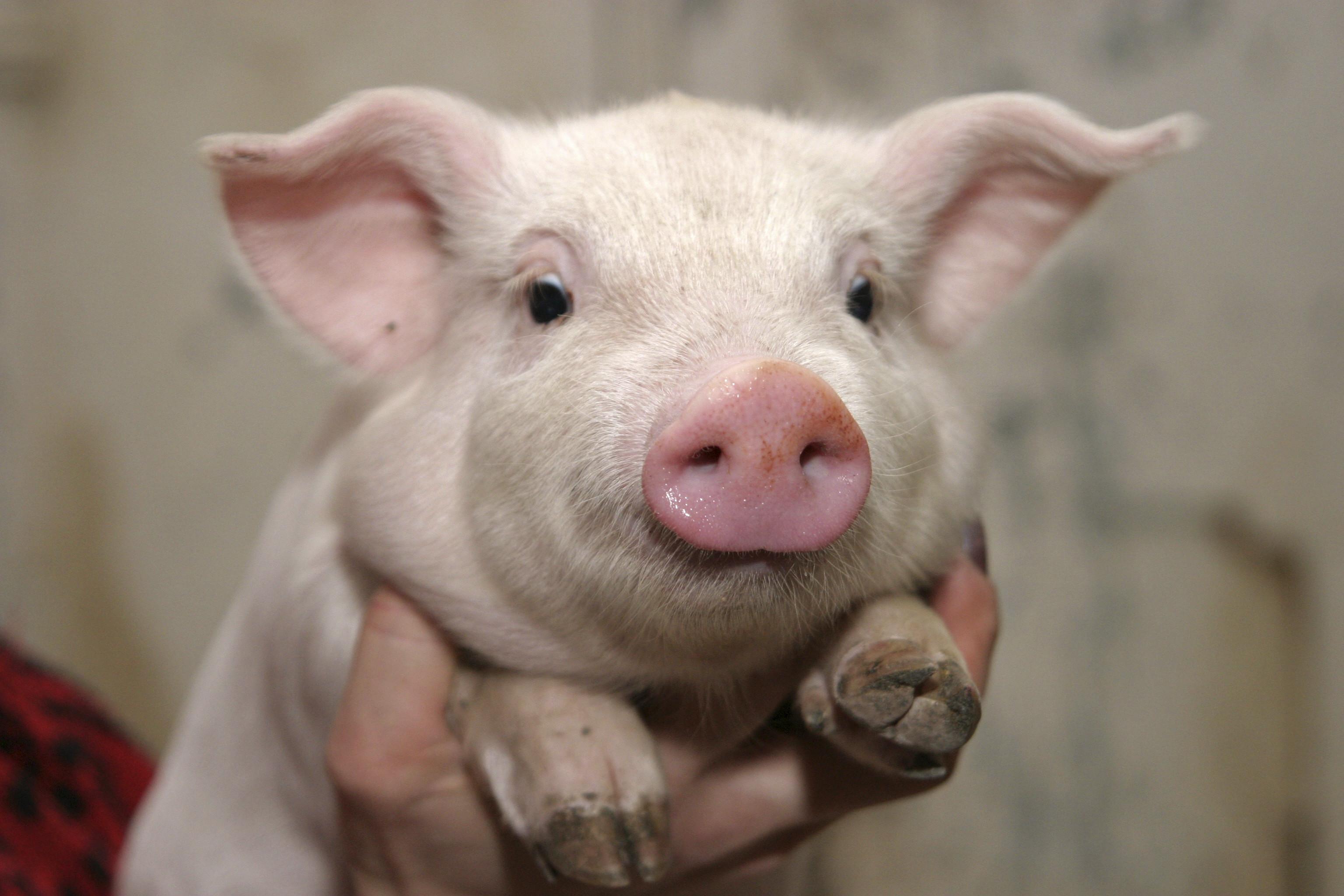 Res: 3072x2048, Pig 31