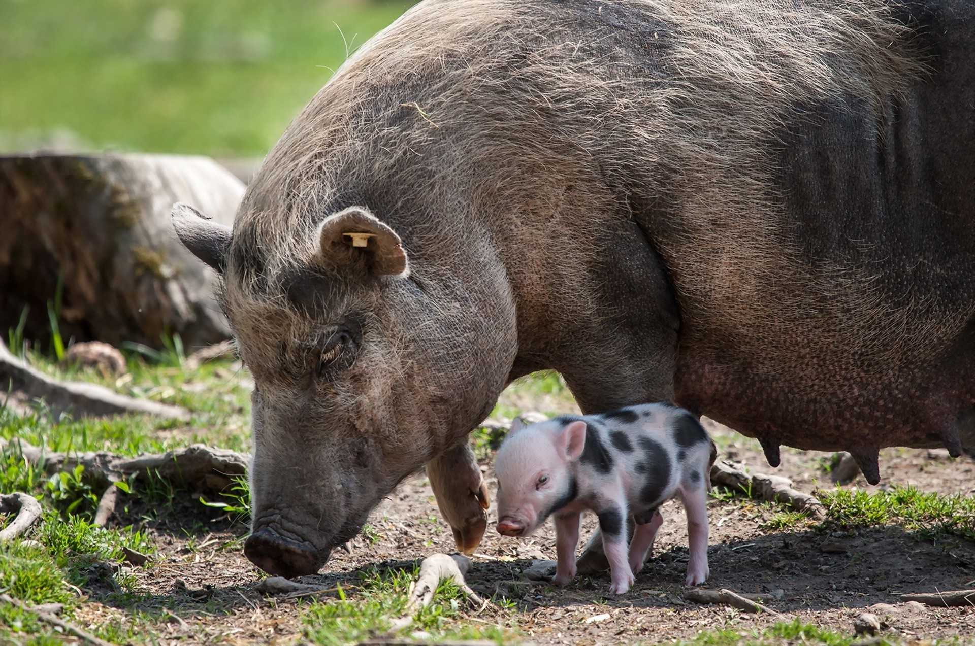 Res: 1920x1273, pigs animals baby animals wallpaper and background