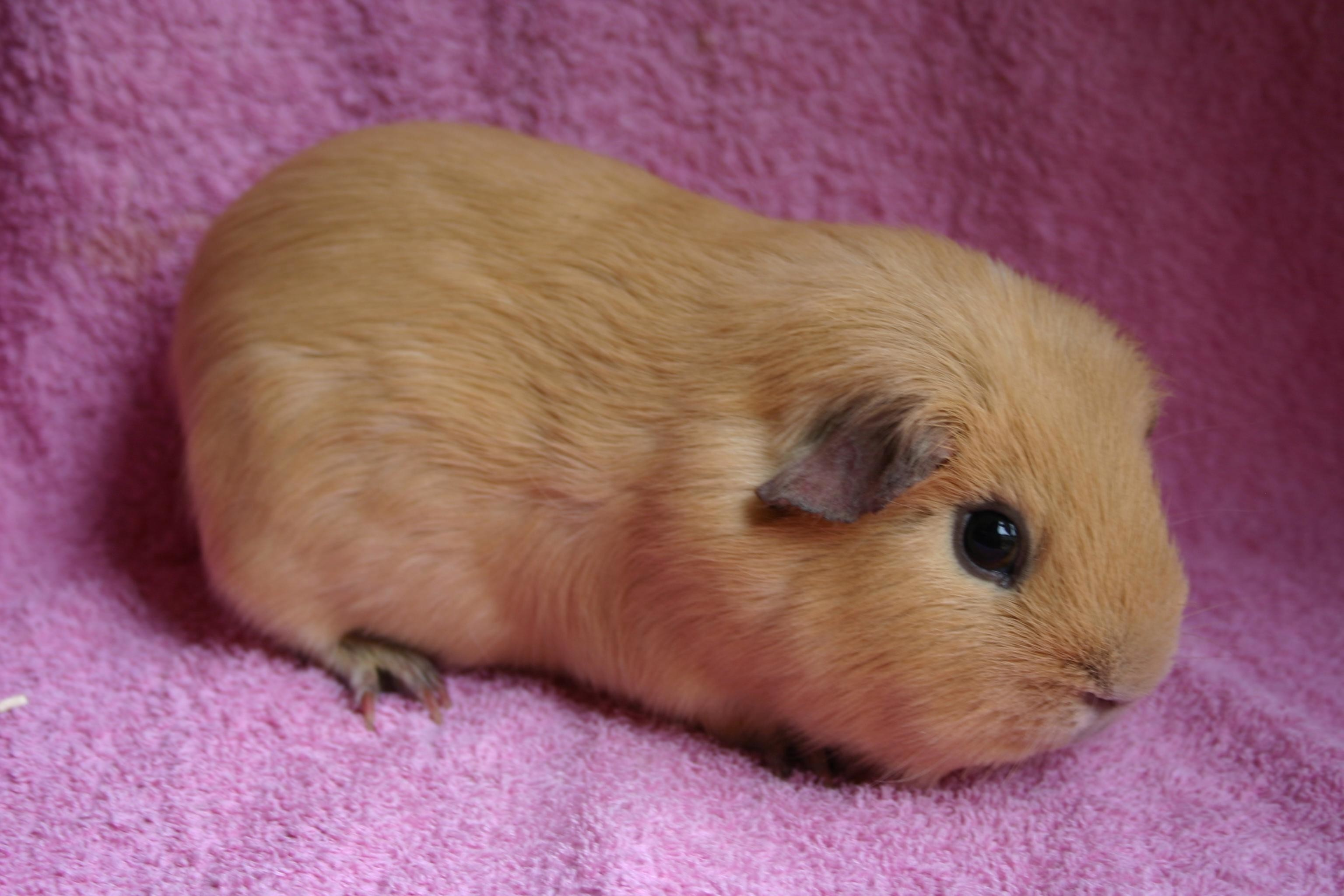 Res: 3071x2047, Pictures Of Baby Guinea Pigs Wallpaper HD Base - HD Wallpapers