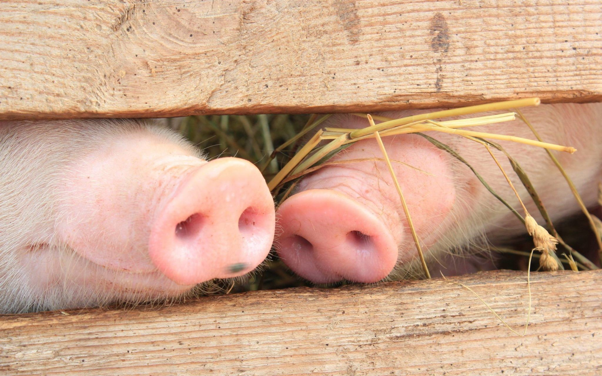 Res: 2048x1280, Pig HD Wallpapers and Backgrounds (4) http://www.urdunewtrend.com/hd- wallpapers/animal/pig/pig-hd-wallpapers-and-backgrounds-4/ Pig 10] 10K 12  rabi ul awal ...