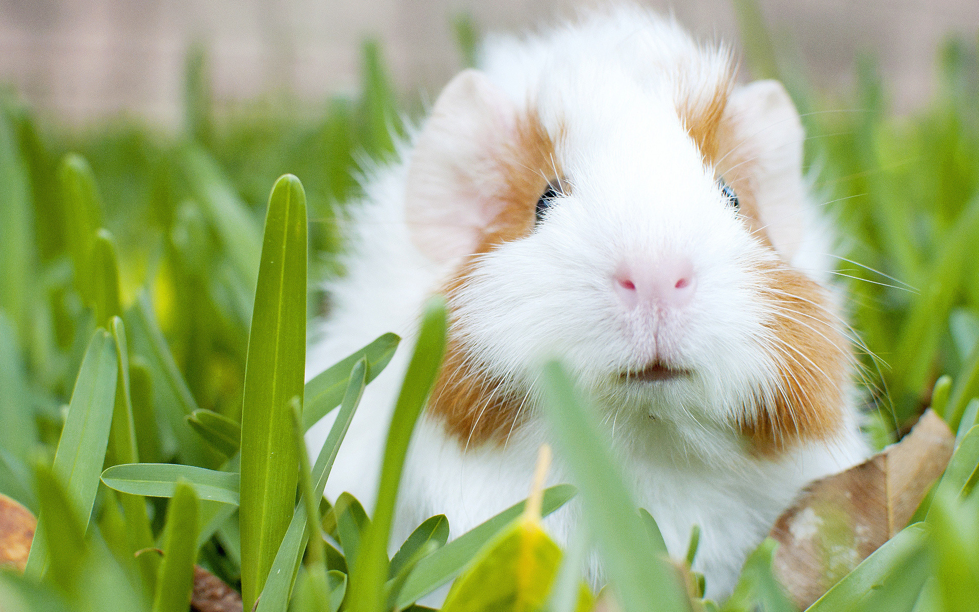 Res: 1920x1200, ... Superior Pictures: Guinea Pig Laptop Backgrounds ...