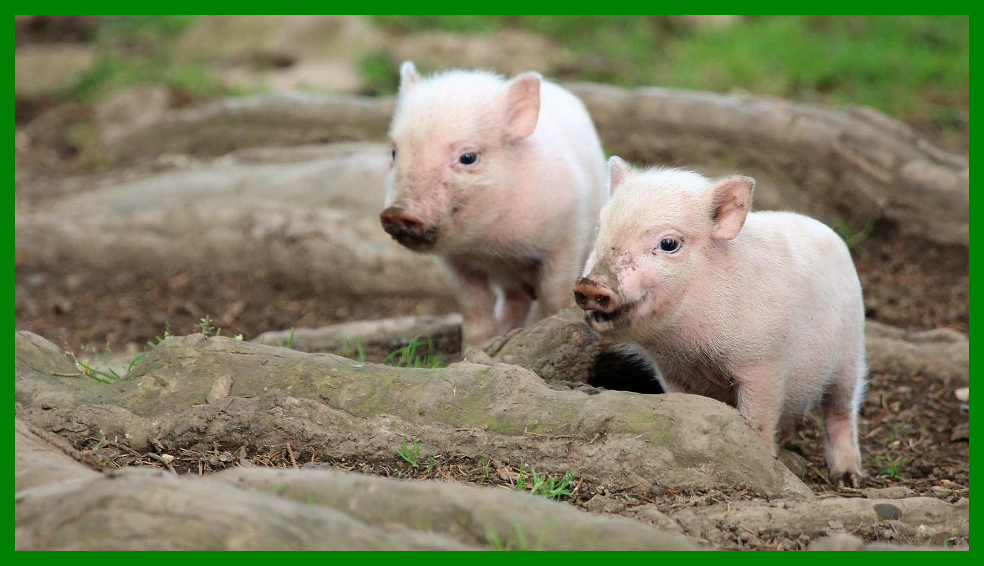 Res: 1980x1140, The Best Two Baby Pigs Cute Wallpaper P I G S Pict Of Trends And Style Cute Baby  Pigs