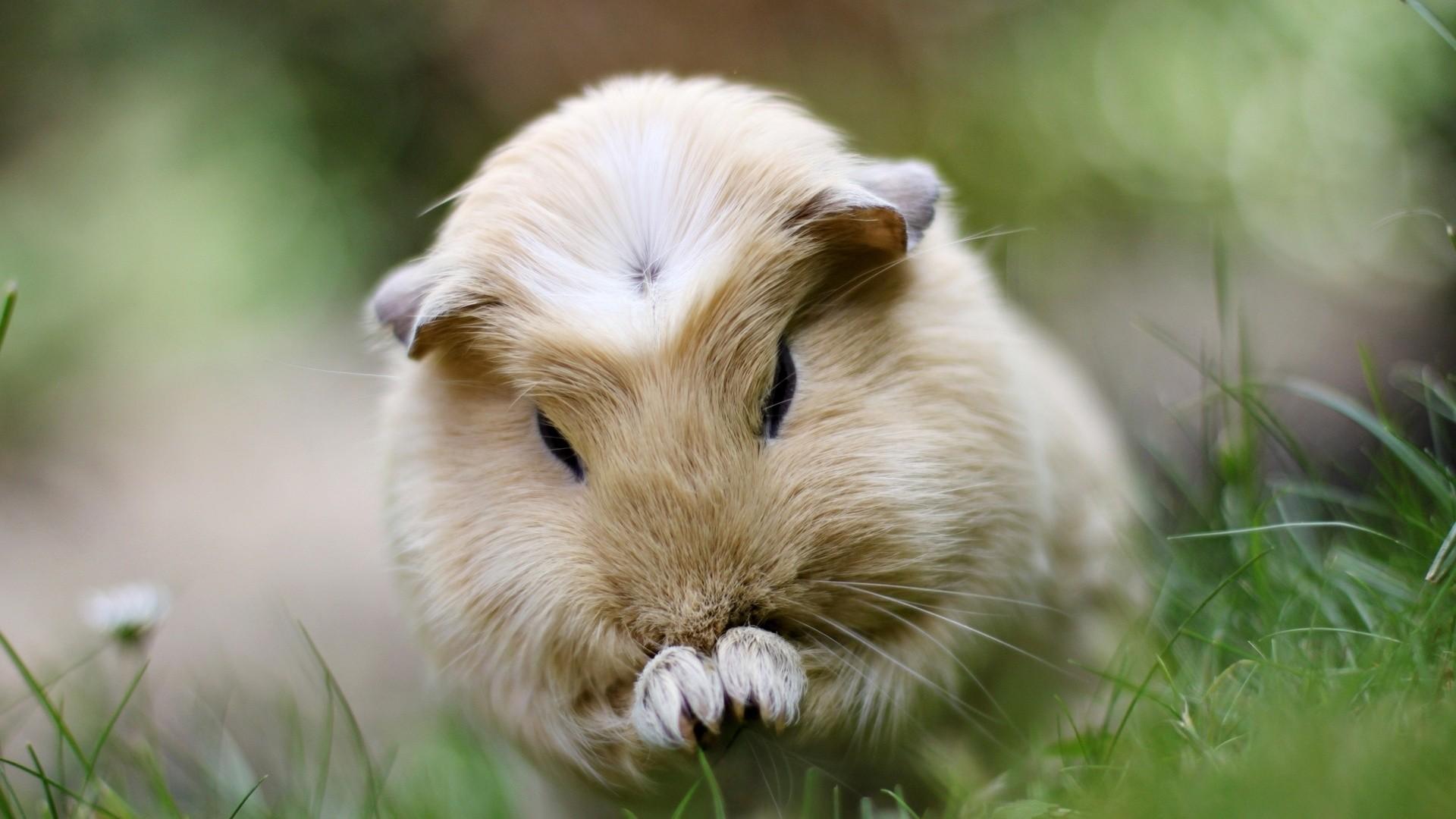 Res: 1920x1080, Guinea Pig Today · Guinea Pig Animal Hd Wallpaper X ...
