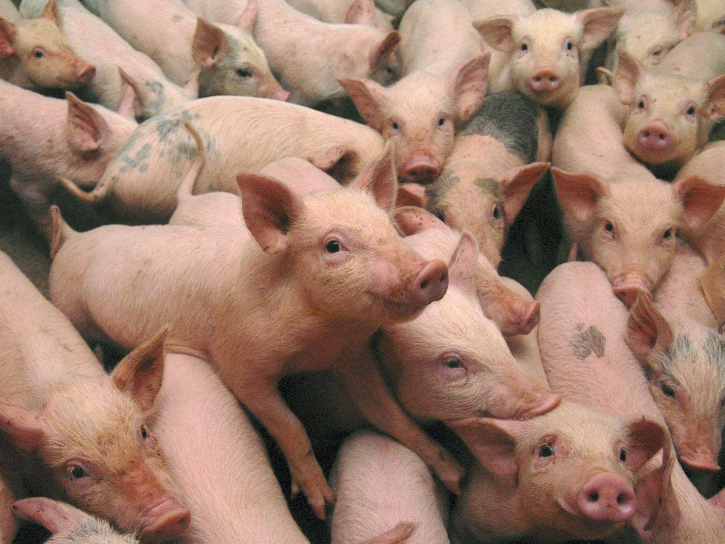 Res: 2817x2113, Pigs images HD wallpaper and background photos