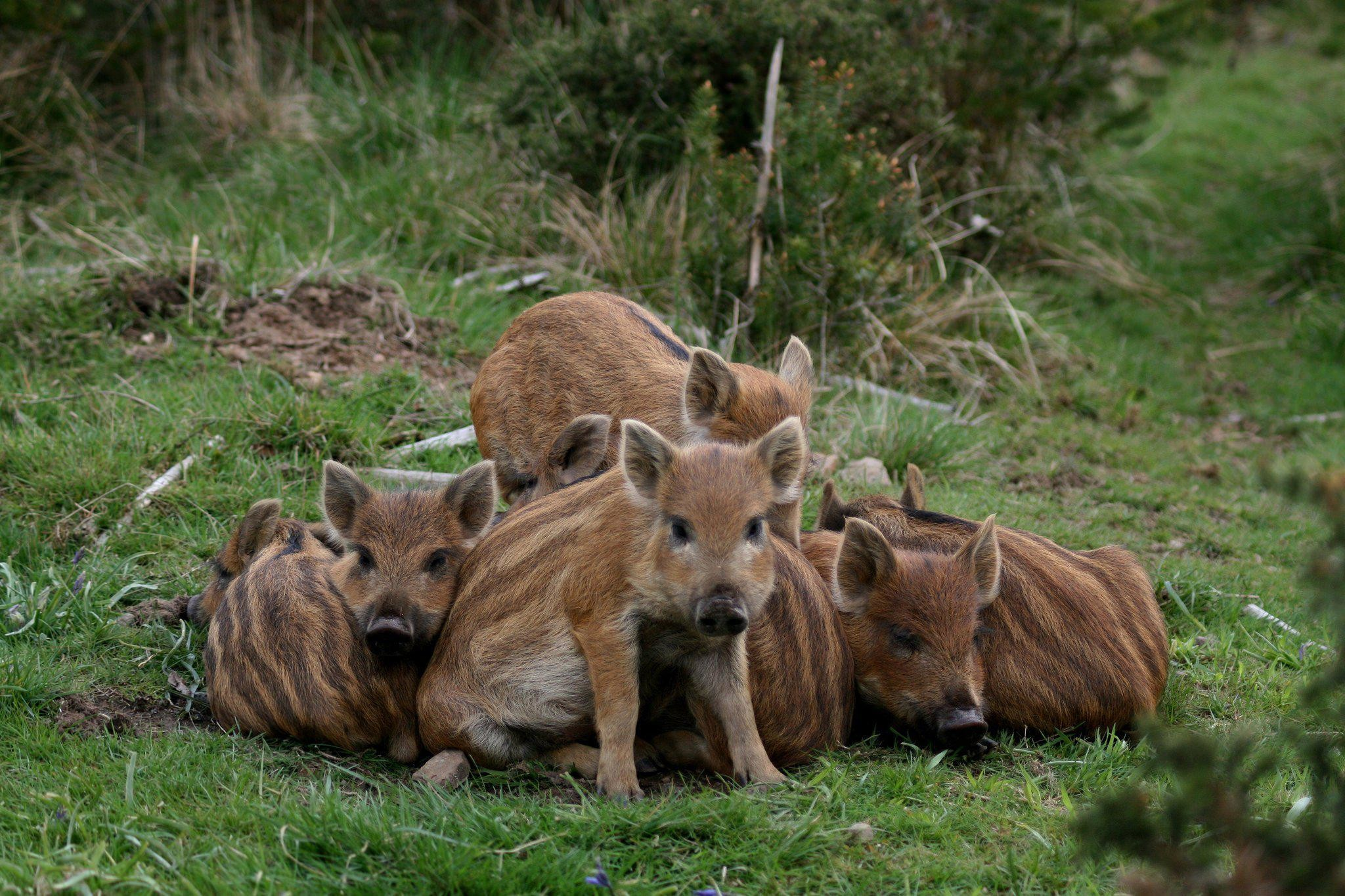 Res: 2048x1365, HD Pigs Wild Boars Baby wide Mobile Wallpaper