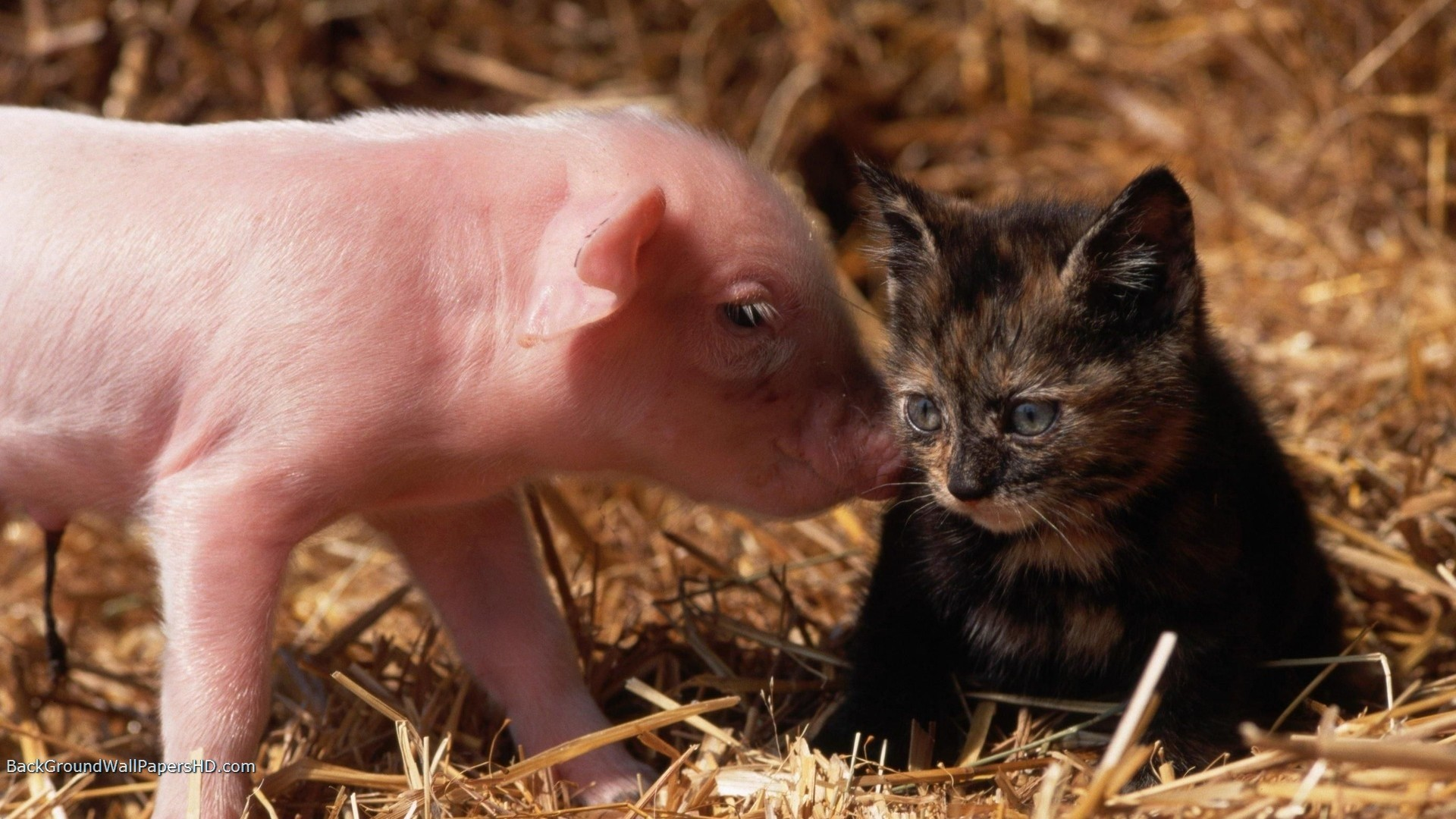 Res: 1920x1080, baby cat and baby pig Baby Cat And Baby Pig Wallpaper HD