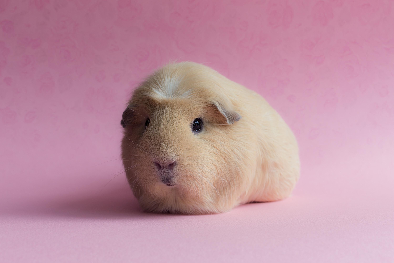 Res: 3000x2000, Super Cute Baby Guinea Pigs - wallpaper.
