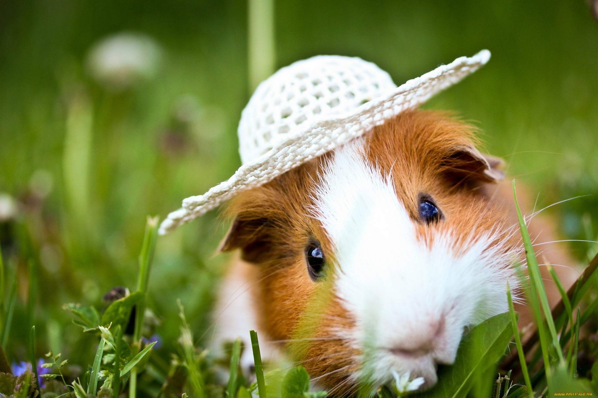 Res: 2048x1365, Cute Guinea Pigs Eating Wallpaper