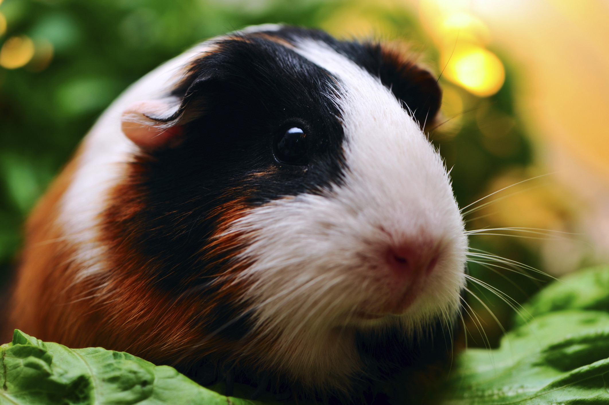 Res: 2124x1413, Living with Guinea Pig Allergies Petfinder - HD Wallpapers