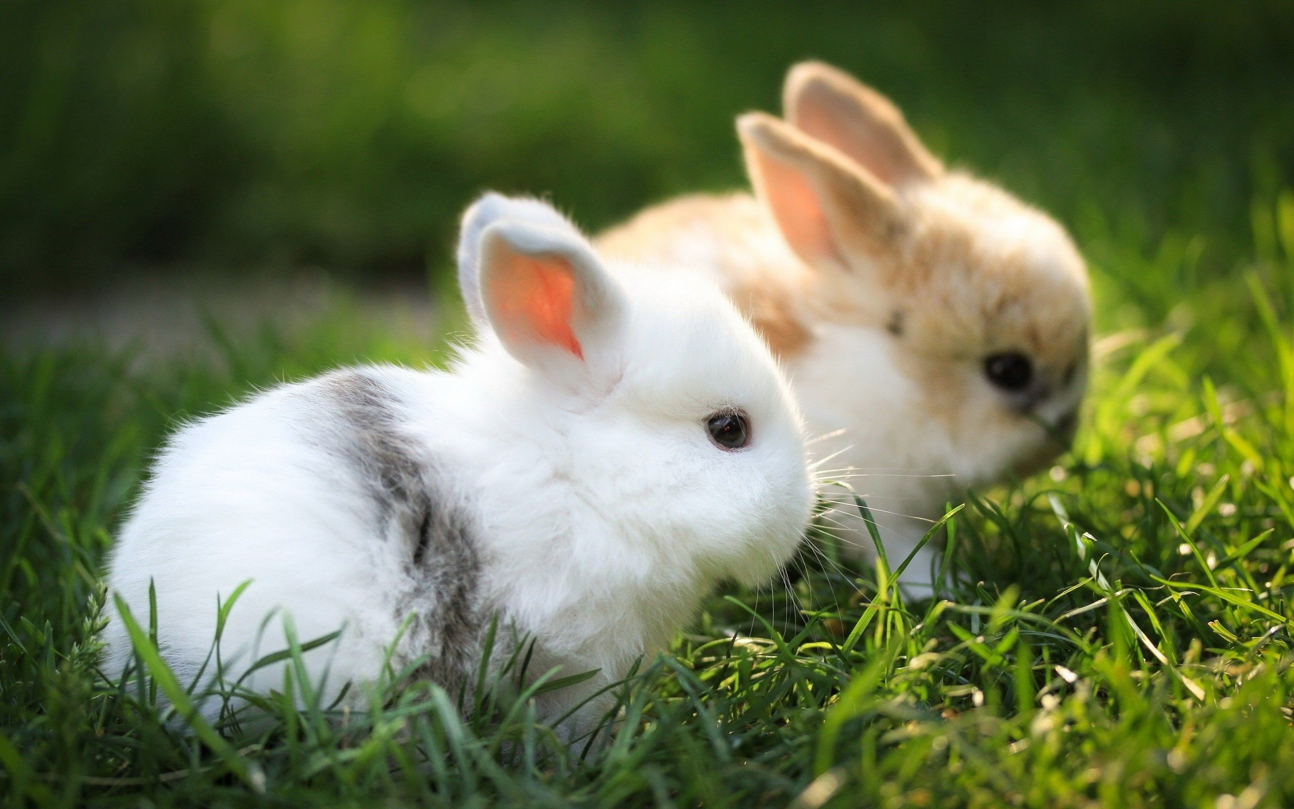 Res: 2560x1600, Baby Bunny Wallpapers - Wallpaper Cave