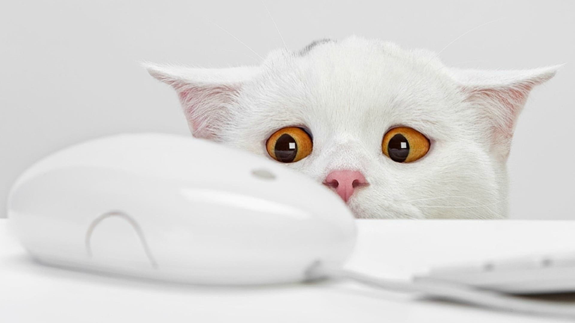 Res: 1920x1080, closeup photo of white cat staring at Apple Mighty Mouse HD wallpaper