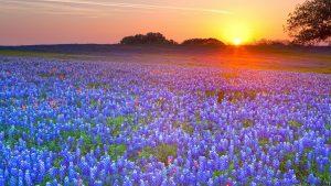 Texas Bluebonnet wallpapers